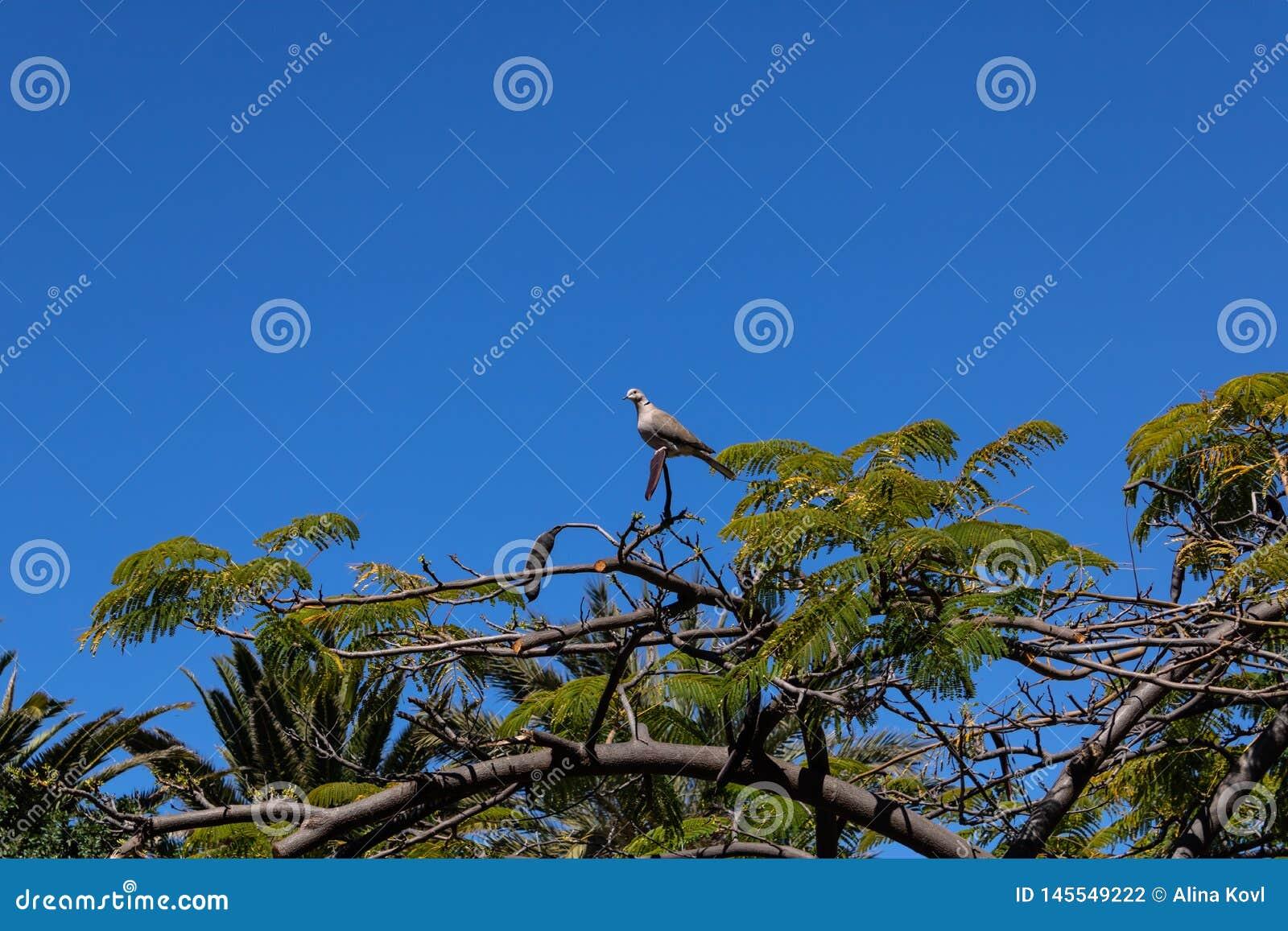 Διάταξη θέσεων senegalensis Spilopelia περιστεριών γέλιου στο regia Delonix δέντρων φλογών με τους λοβούς σπόρου, Tenerife, Κανάρ