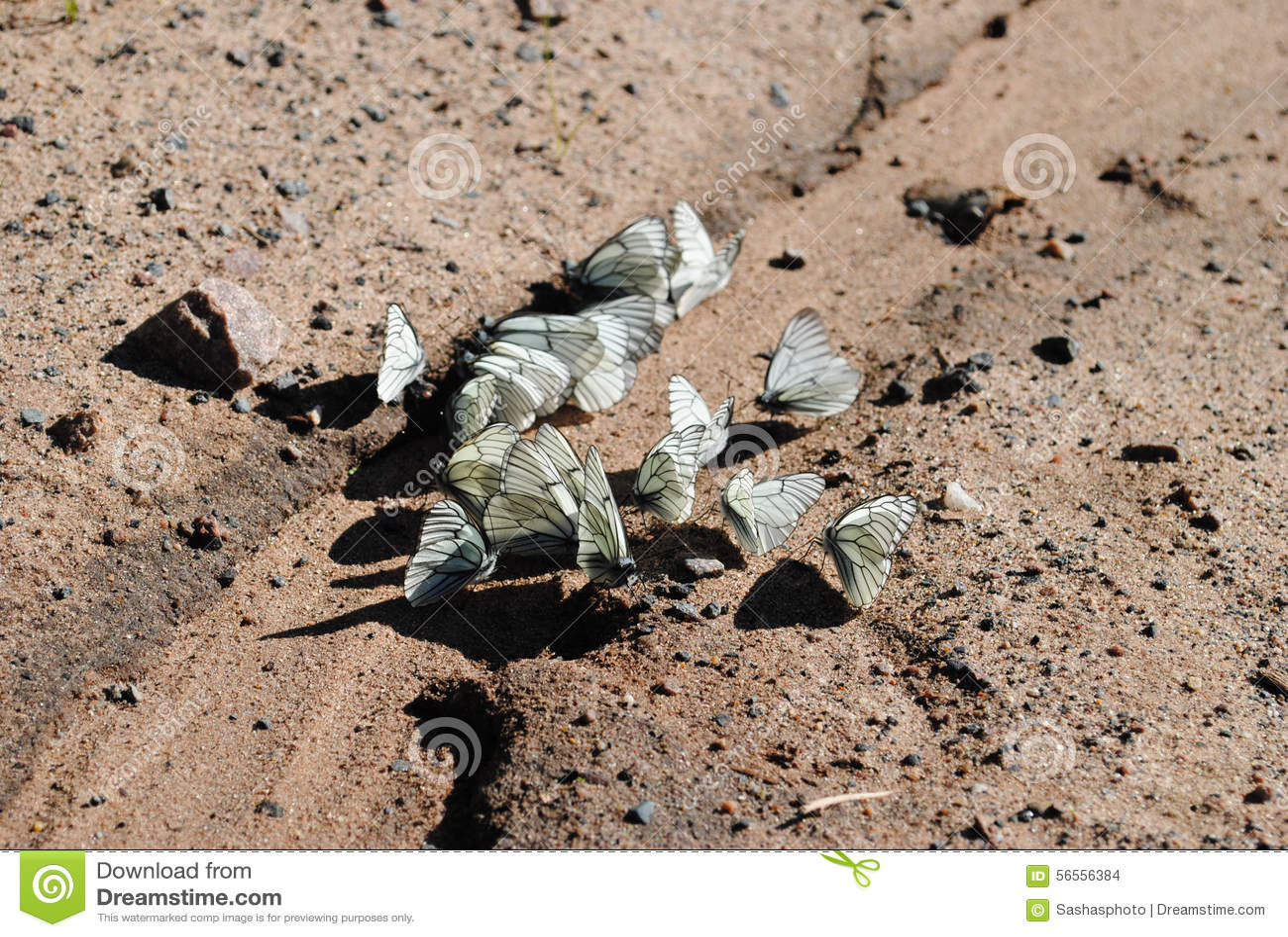 Download Διάφορες άσπρες πεταλούδες στοκ εικόνες. εικόνα από bugatti - 56556384