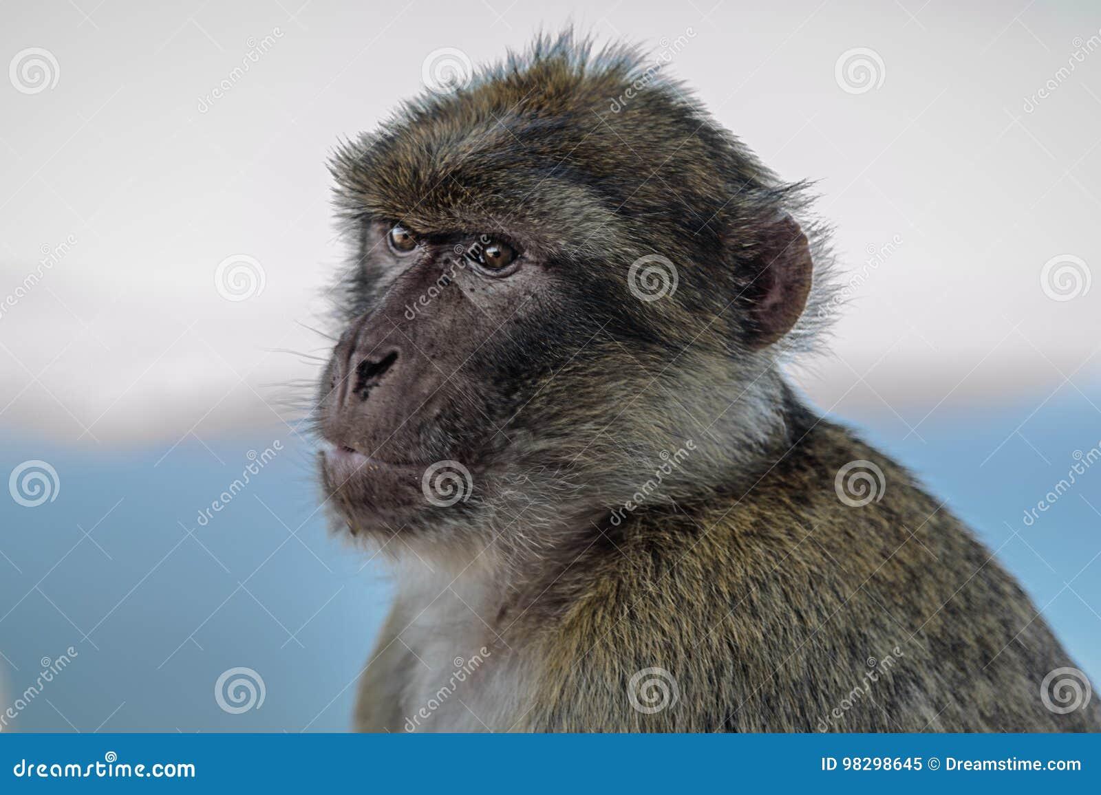 Διαβίωση στο αγγλικό Γιβραλτάρ macaque