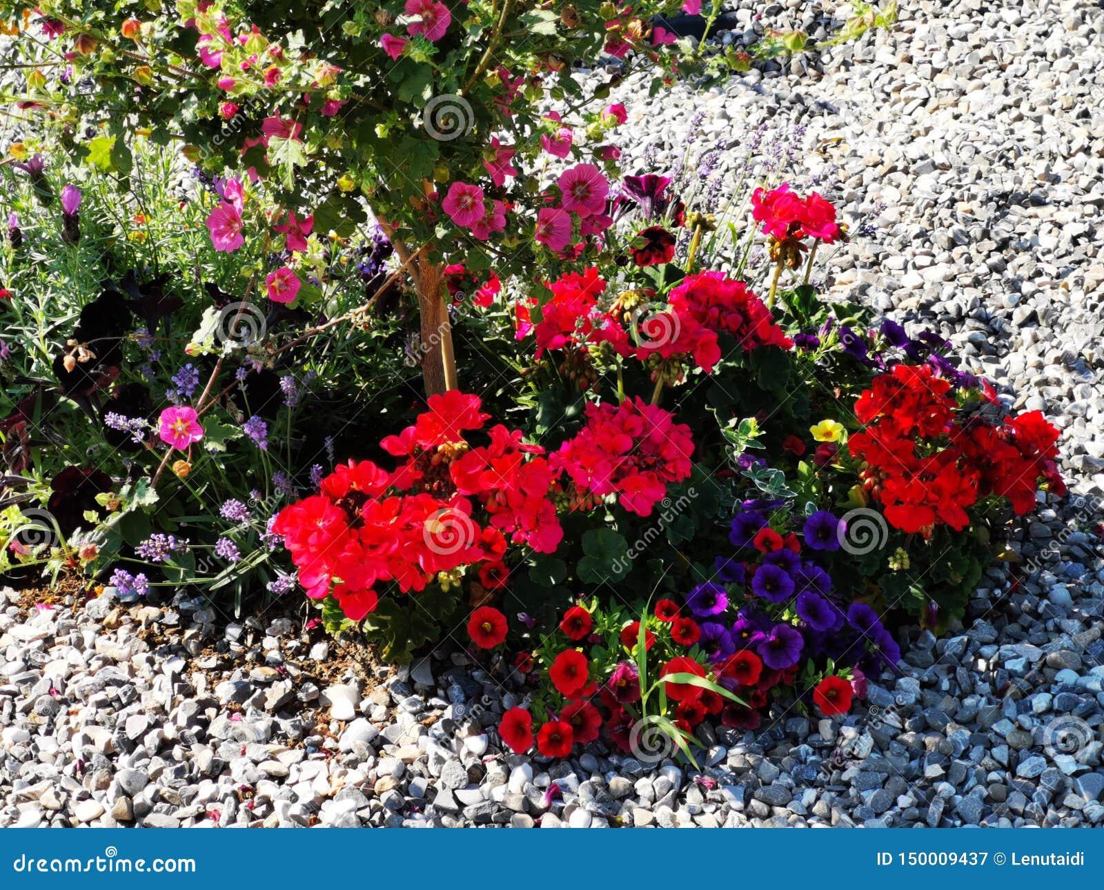 Διακοσμητικά ζωηρόχρωμα λουλούδια στο αμμοχάλικο - πετούνια