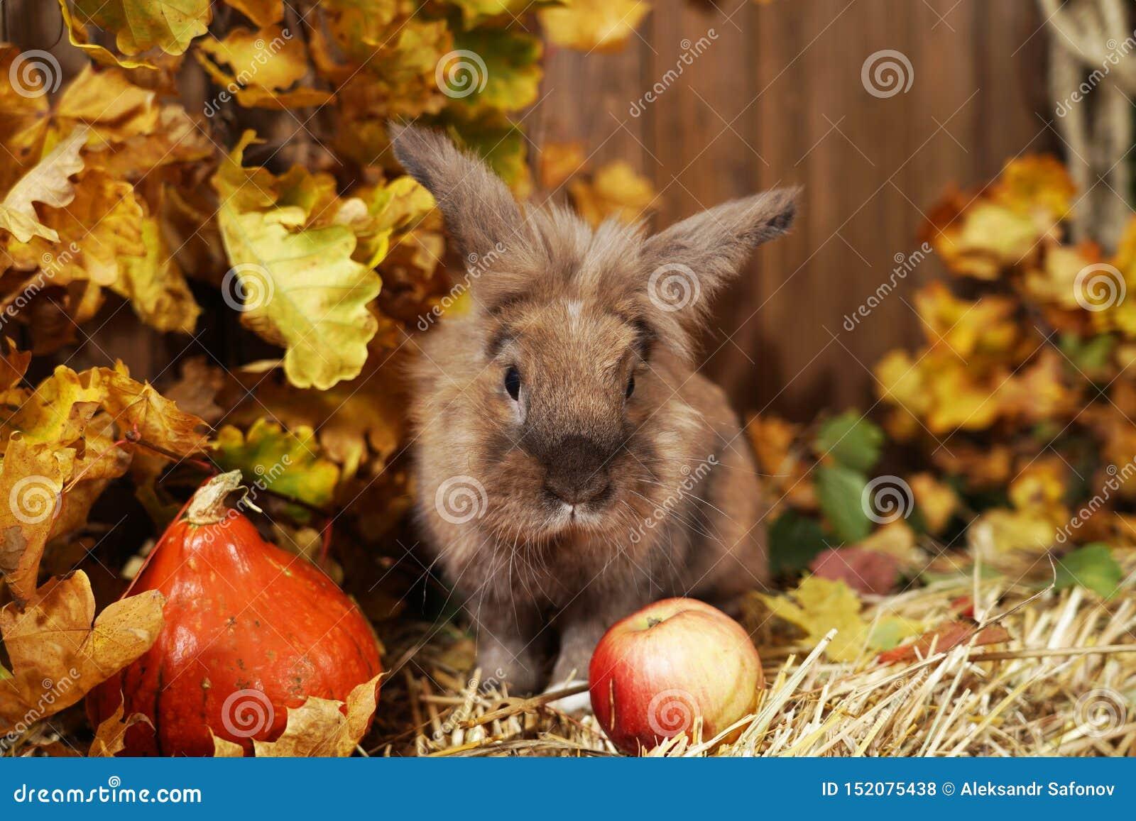Διακοσμητικό κουνέλι στη θέση φθινοπώρου, που κάθεται σε μια θυμωνιά χόρτου του αχύρου με τα αυτιά του που αυξάνονται