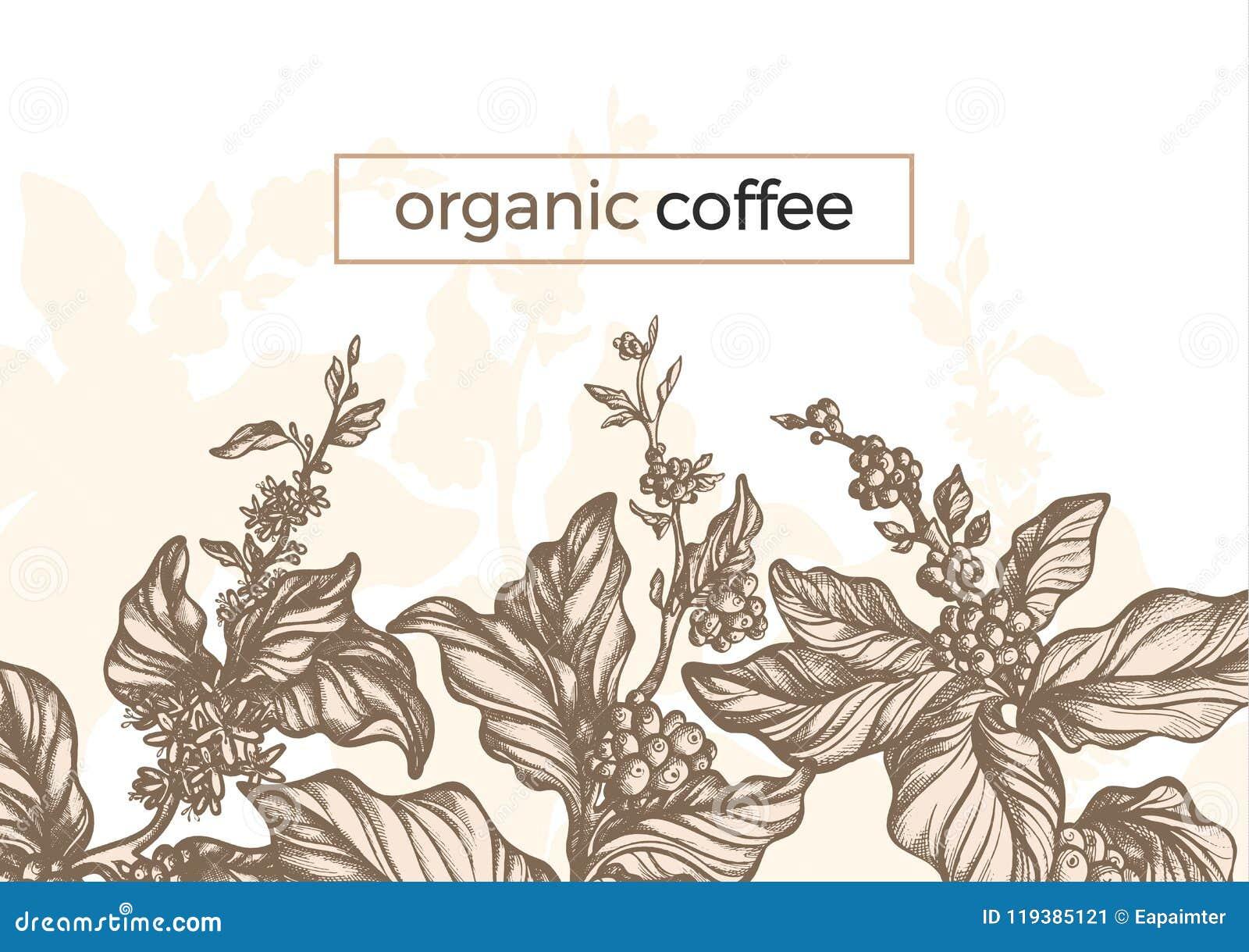 Διανυσματικός γραφικός κλάδος δέντρων καφέ, φύλλο, φασόλι Τρύγος