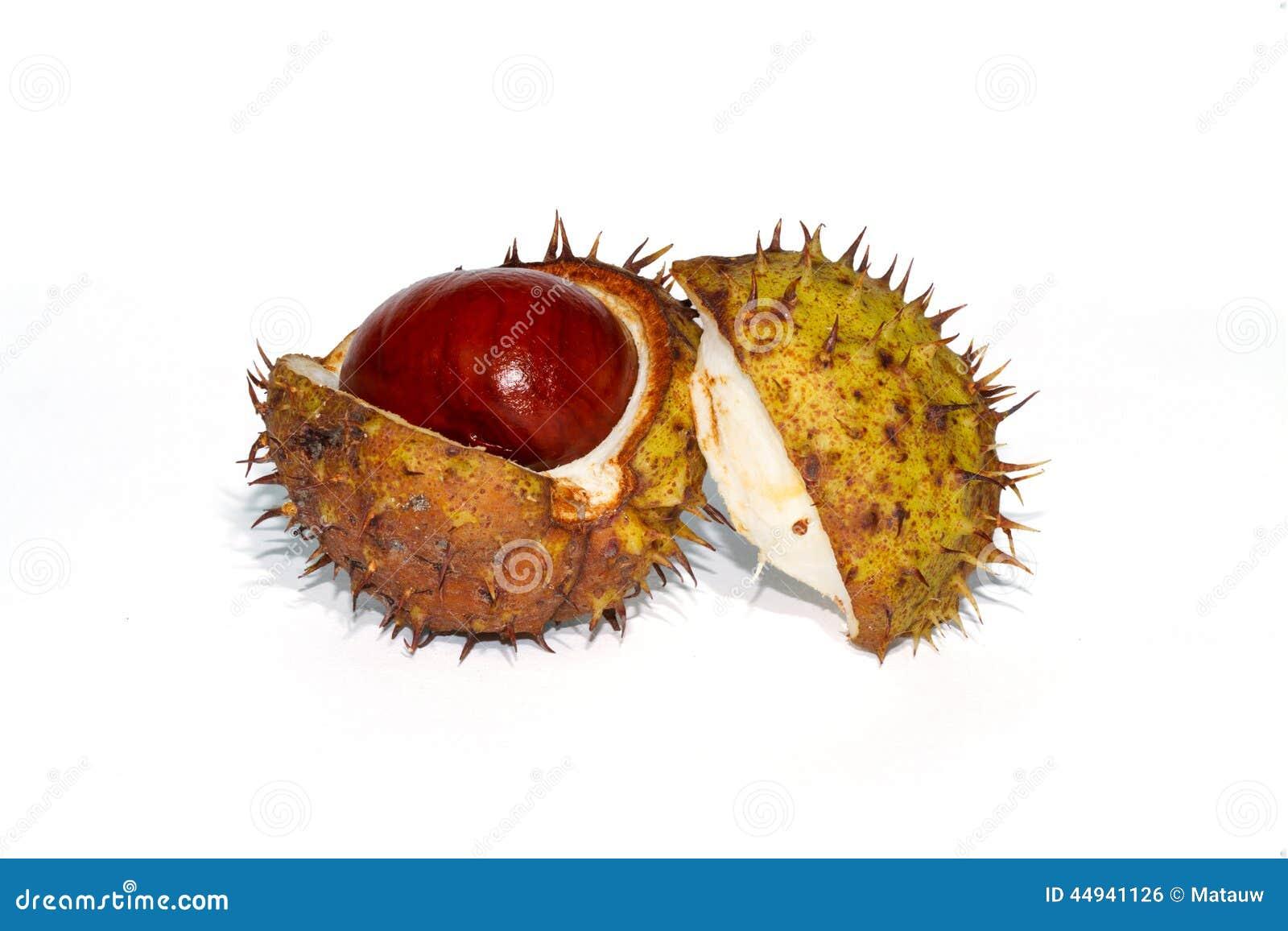 Διασπασμένος ανοικτός σαλιασμάτων Chesnut