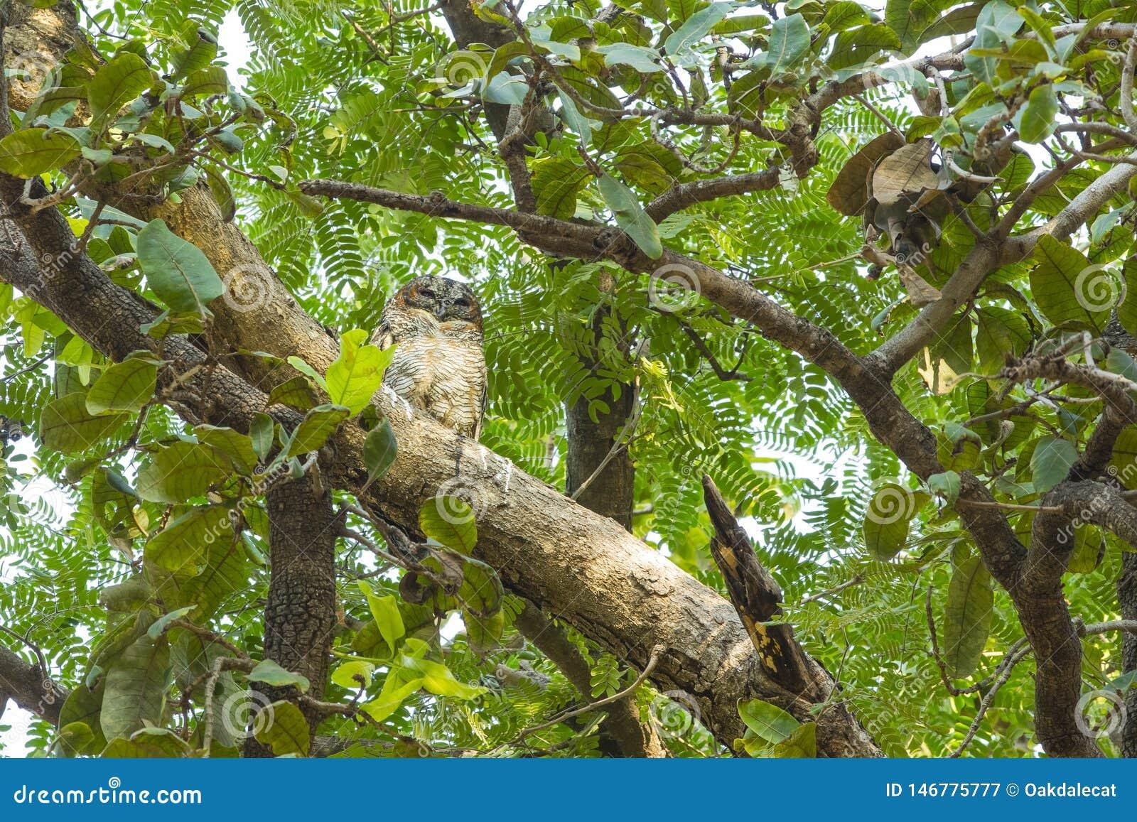Διαστισμένη ξύλινη κουκουβάγια Roosting