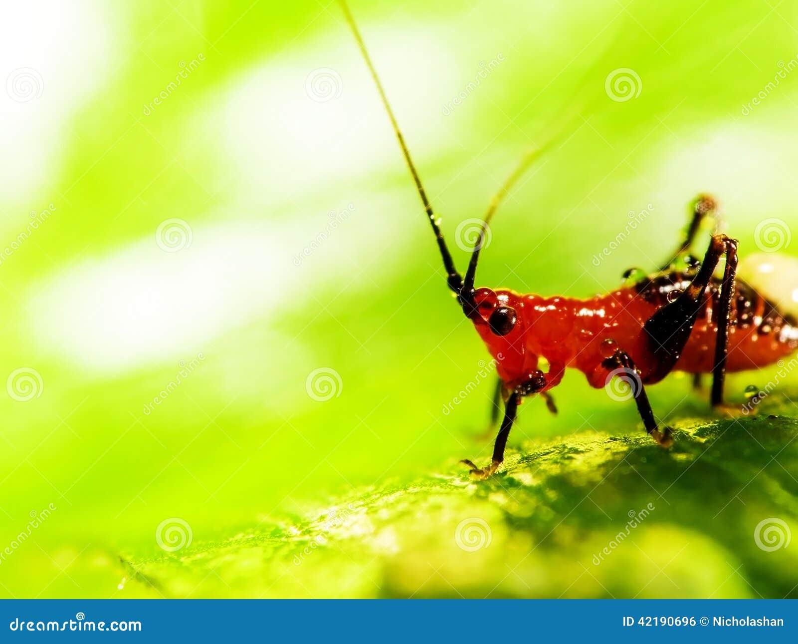 Διαφορικό Grasshopper που τρώει ένα φύλλο