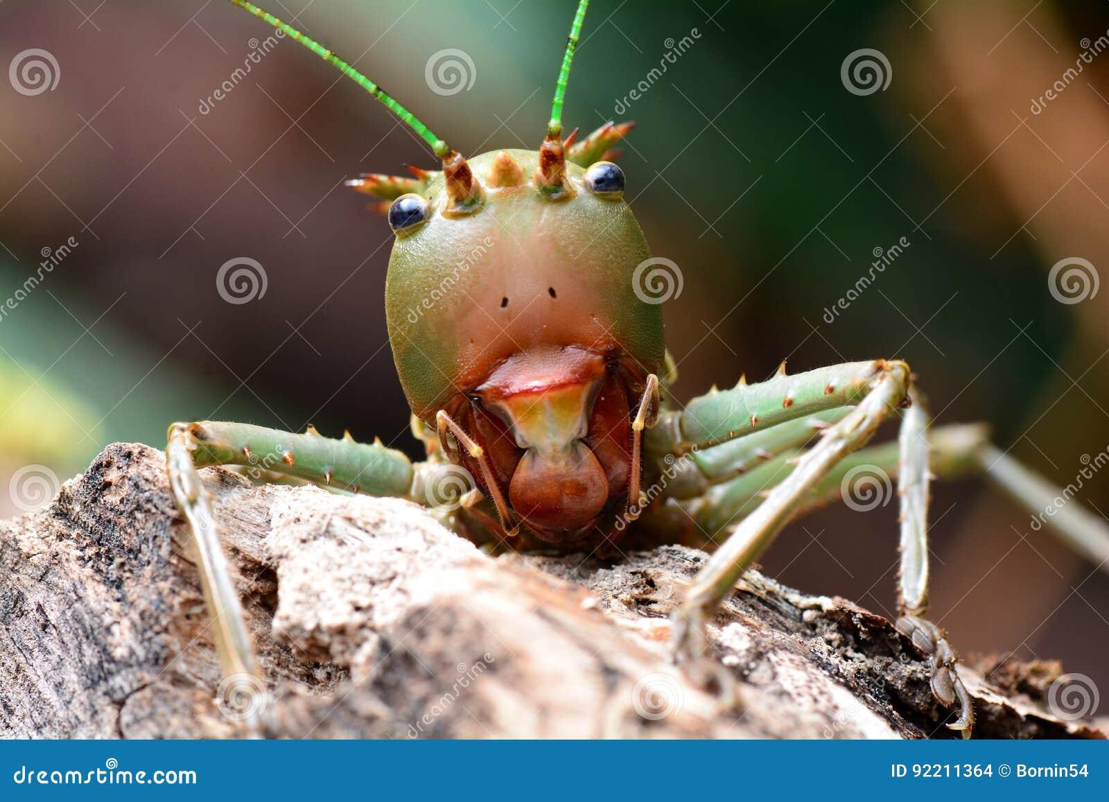 Διευθυνμένο δράκος Katydid