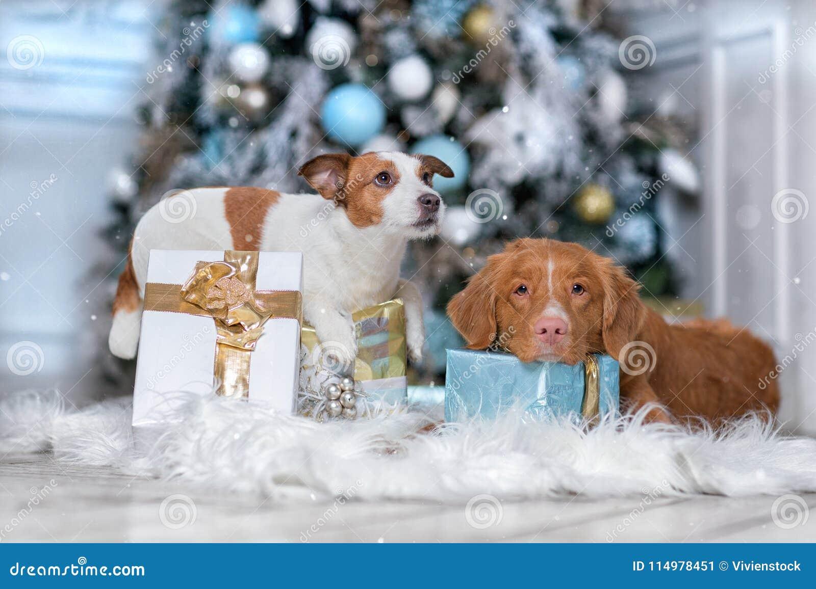Διόδια Retrie παπιών της Νέας Σκοτίας τεριέ και σκυλιών του Jack Russell σκυλιών