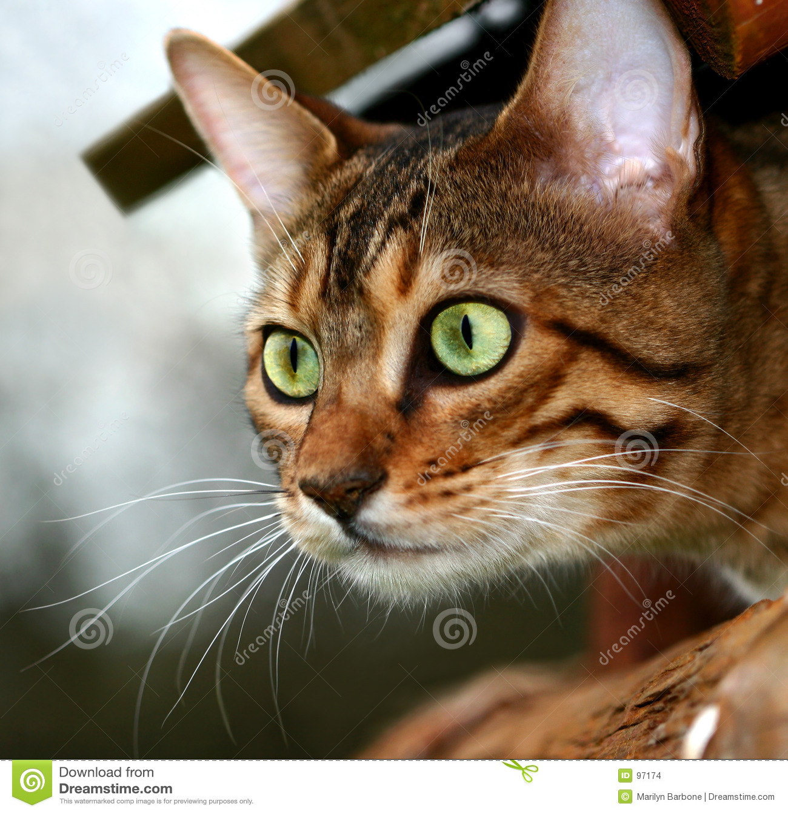 δολοφόνος γατών