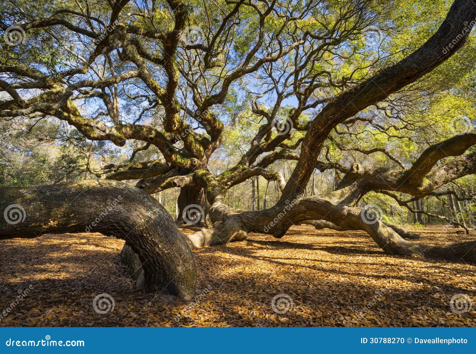 Δρύινη φύση Sc του Τσάρλεστον δέντρων αγγέλου της νότιας Καρολίνας Lowcountry φυσική