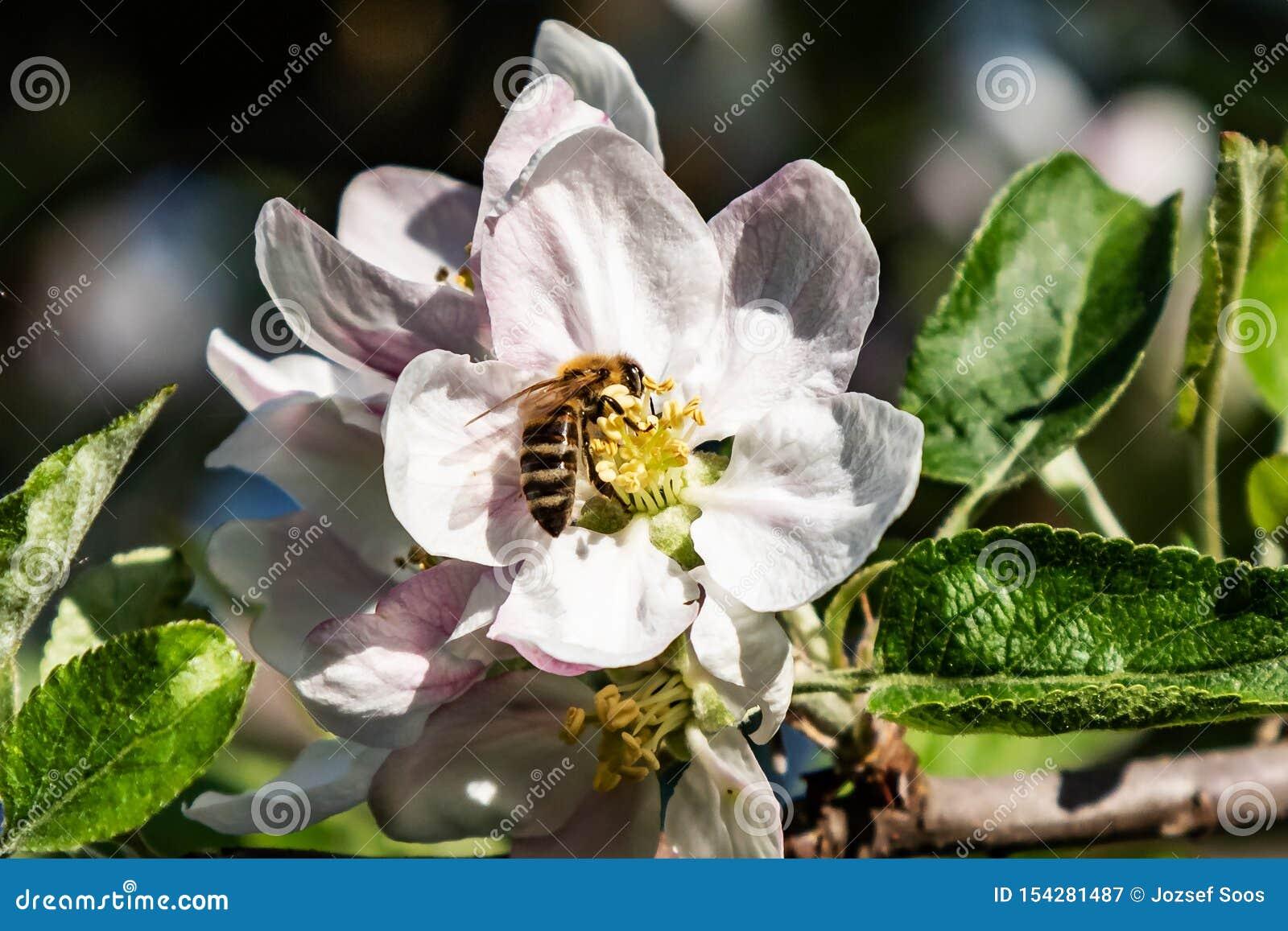 Δυτική μέλισσα μελιού υψηλή - ποιοτική φωτογραφία στα καλά φω τα