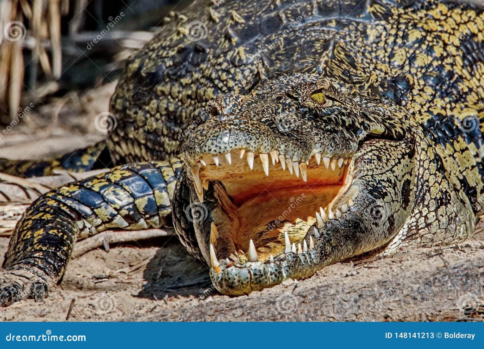 Δόντια του κροκοδείλου Δόντια ενός κροκοδείλου Κροκόδειλοι Lat Το Crocodilia είναι μεγάλα υδρόβια ερπετά που ζουν