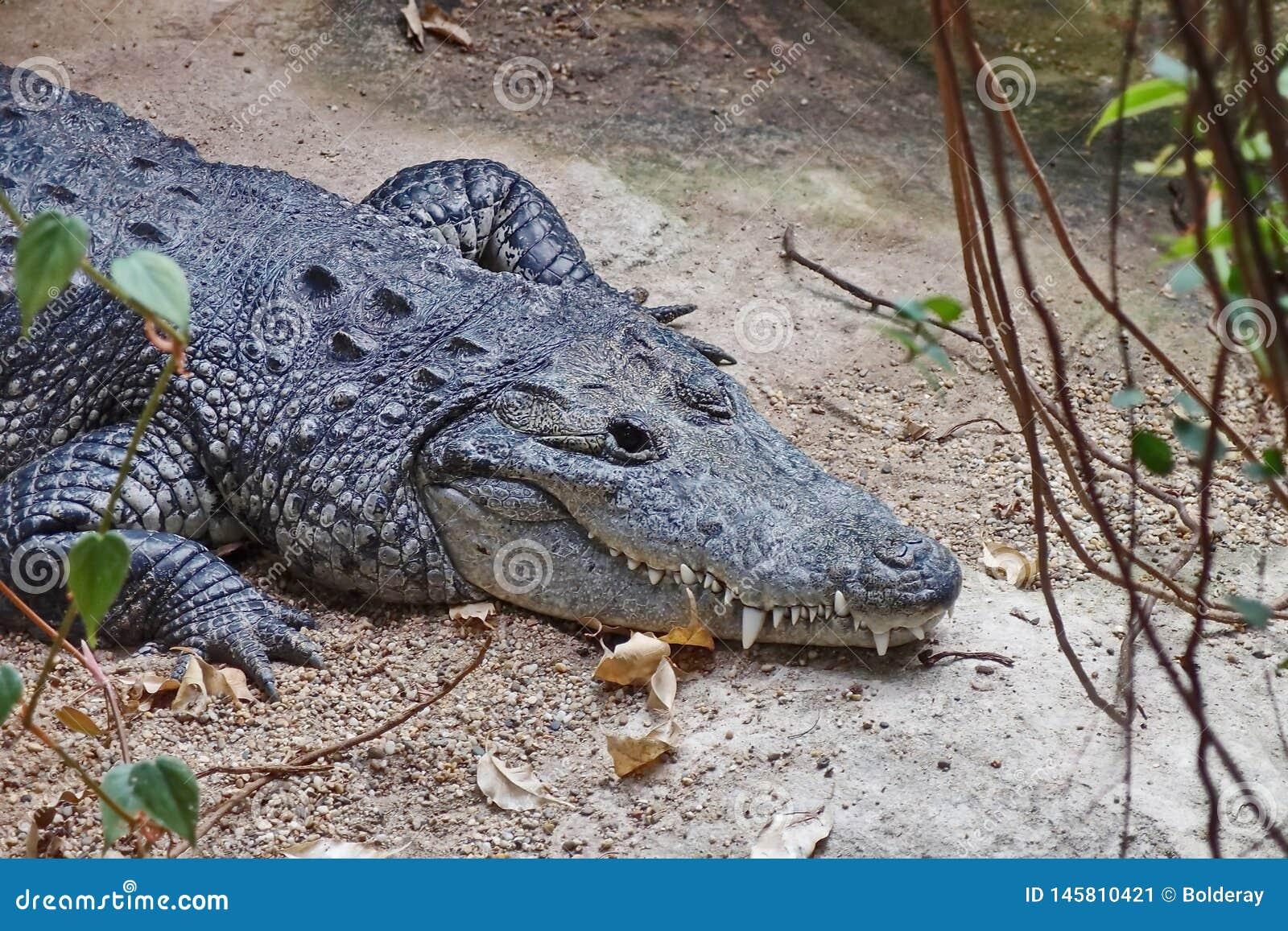 Δόντια του κροκοδείλου Κροκόδειλοι Lat Το Crocodilia είναι μεγάλα υδρόβια ερπετά που ζουν σε όλους τους τροπικούς κύκλους στην Αφ