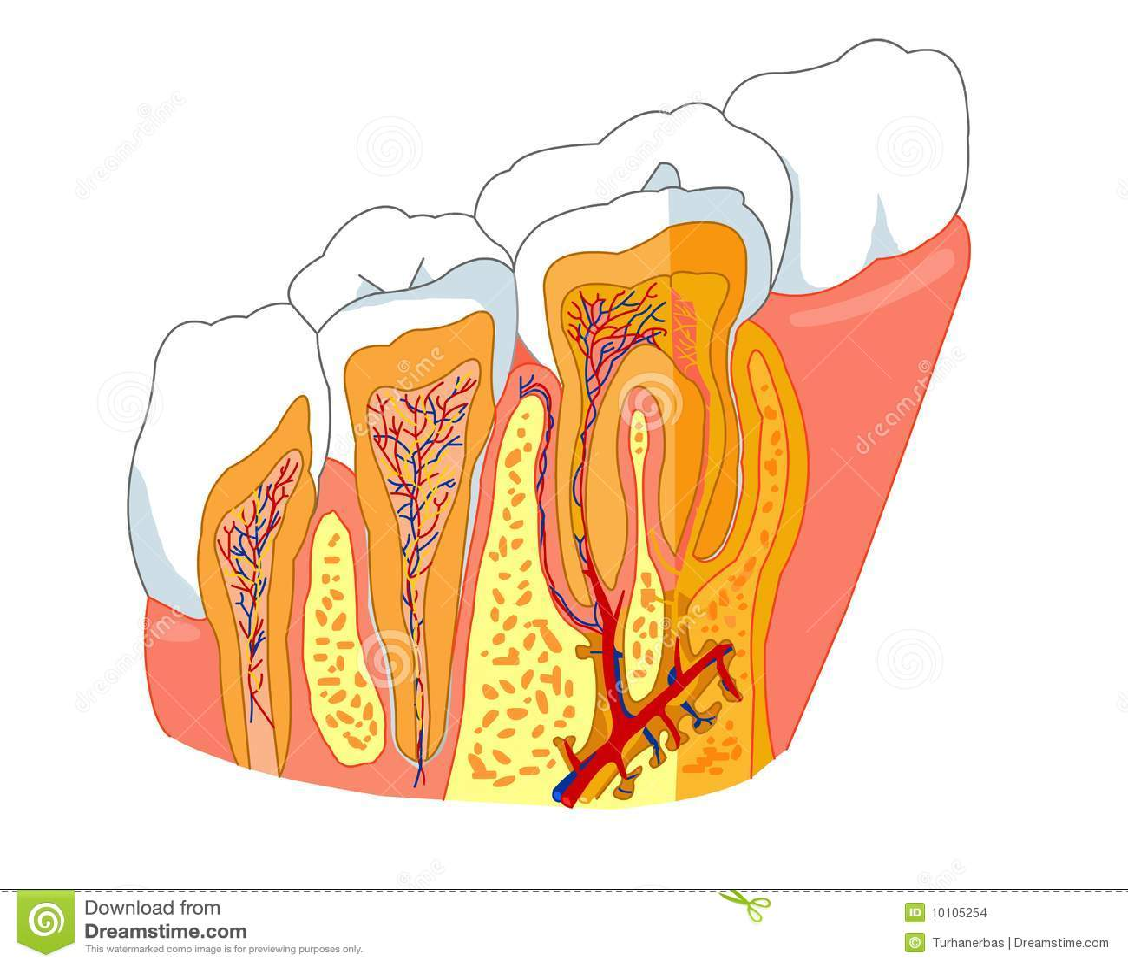 δόντι ανατομίας