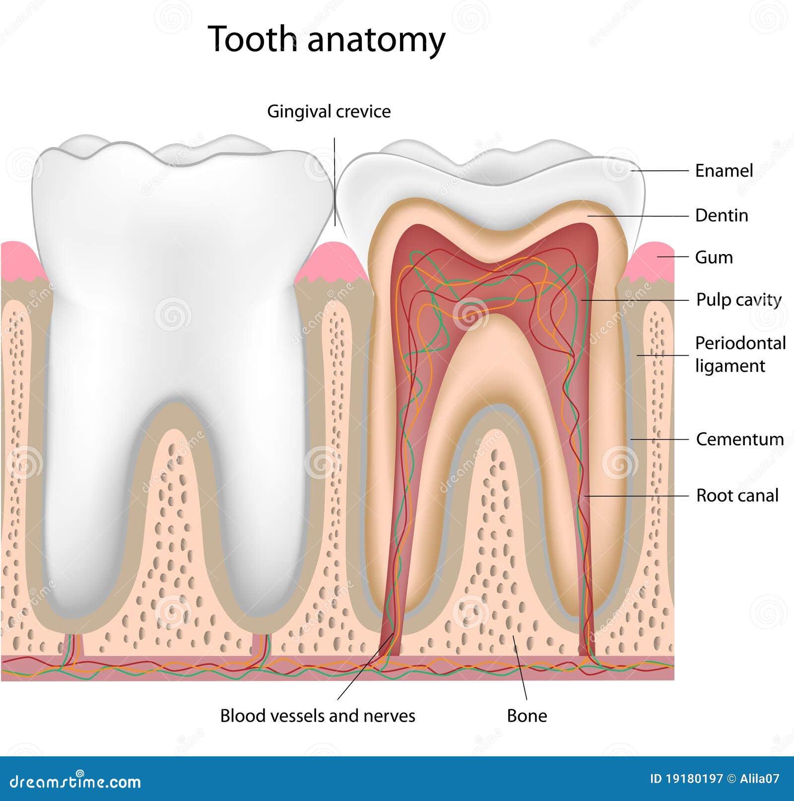 δόντι ανατομίας eps8