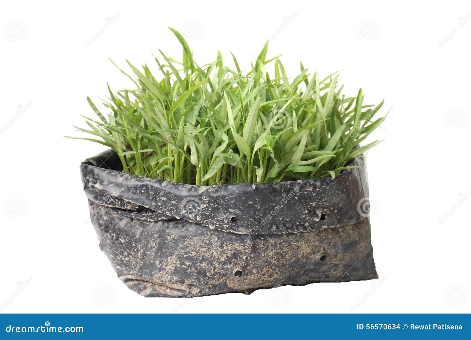 Download Δόξα πρωινού σποροφύτων σε μια τσάντα κήπων Στοκ Εικόνες - εικόνα από φύλλωμα, φυτικός: 56570634