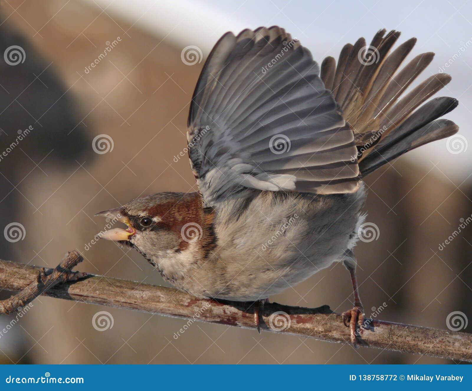 Δύναμη σπουργιτιών σπιτιών και επίδειξη δύναμης με τα ανυψωμένα φτερά