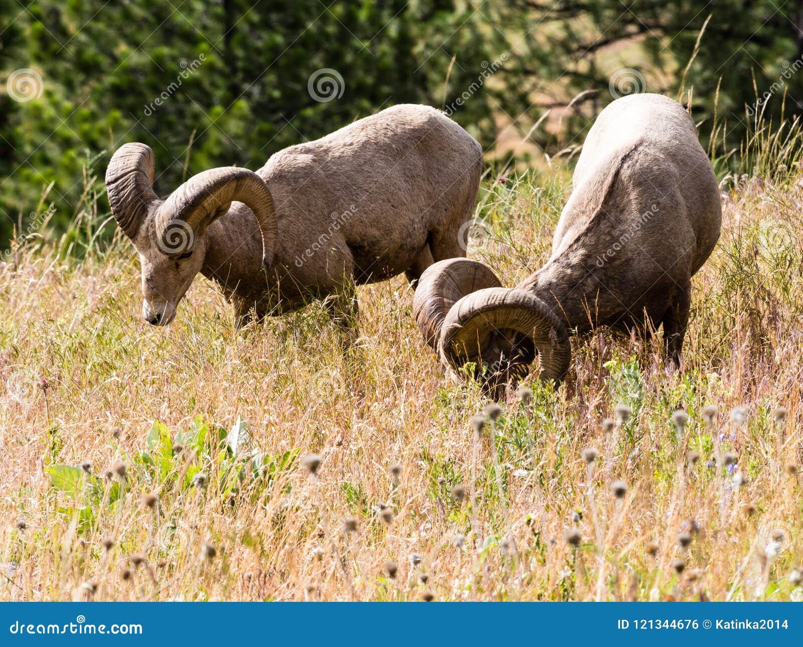 Δύο αμερικανικά πρόβατα κατά τη βοσκή bighorn σε ένα λιβάδι