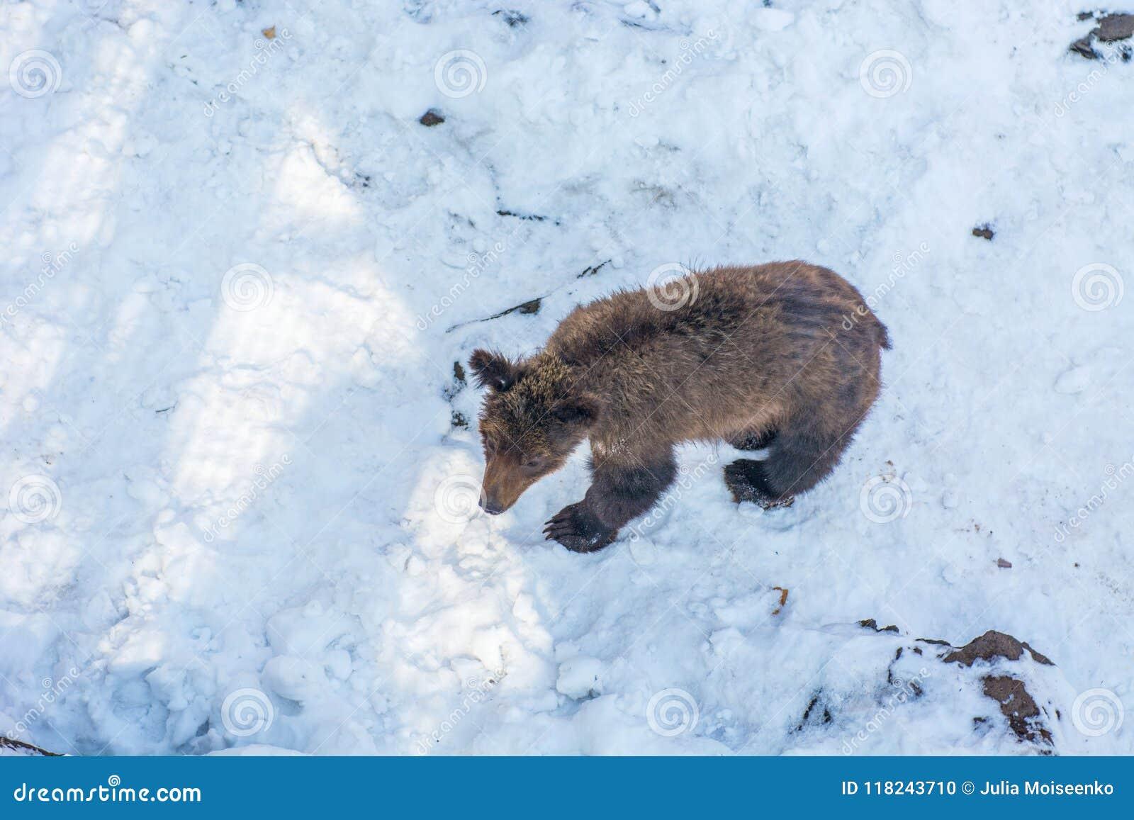 Δύο αντέχουν cubs παίζοντας στο χιόνι, τα ψηλά δέντρα και την ομοφυλοφιλική cubs πτώση