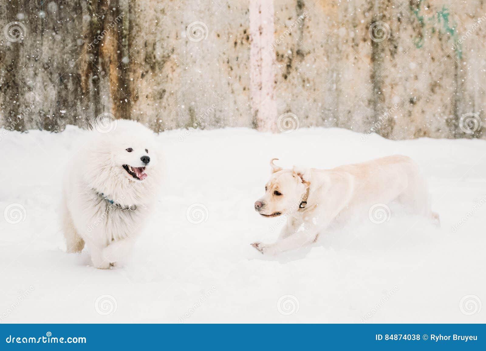 Δύο αστεία σκυλιά - σκυλί και Samoyed του Λαμπραντόρ που παίζουν και που τρέχουν υπαίθρια