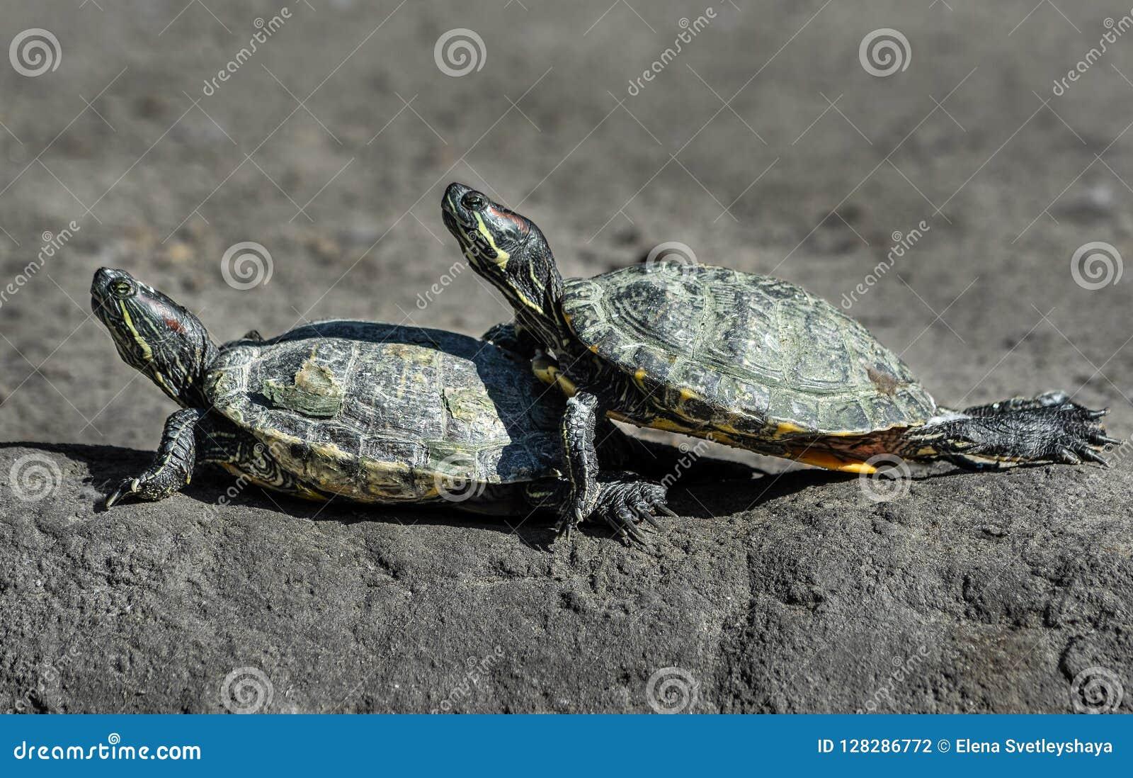 Δύο αστείες χελώνες αναρριχούνται η μια στην άλλη ερπετά Ζώα ζωολογικών κήπων