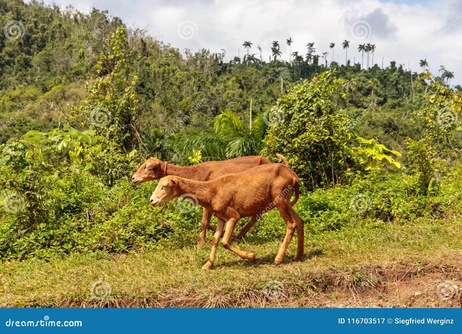 Δύο κουβανικά sheeps που περπατούν κατά μήκος ενός δρόμου alejandro de humboldt στο εθνικό πάρκο κοντά στο baracoa Κούβα