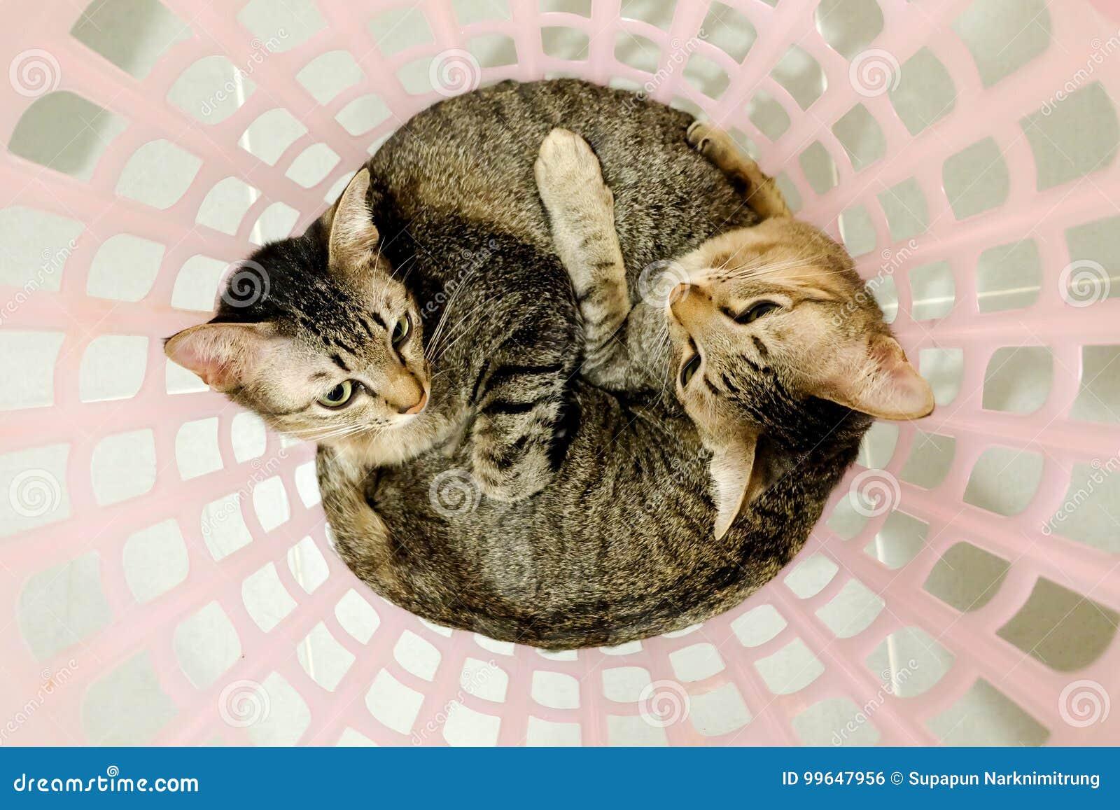 Δύο λατρευτές γάτες που βρίσκονται στο καλάθι Καλός χρόνος αδελφών οικογενειακών φίλων ζεύγους στο σπίτι η αγκαλιά γατακιών αγκαλ