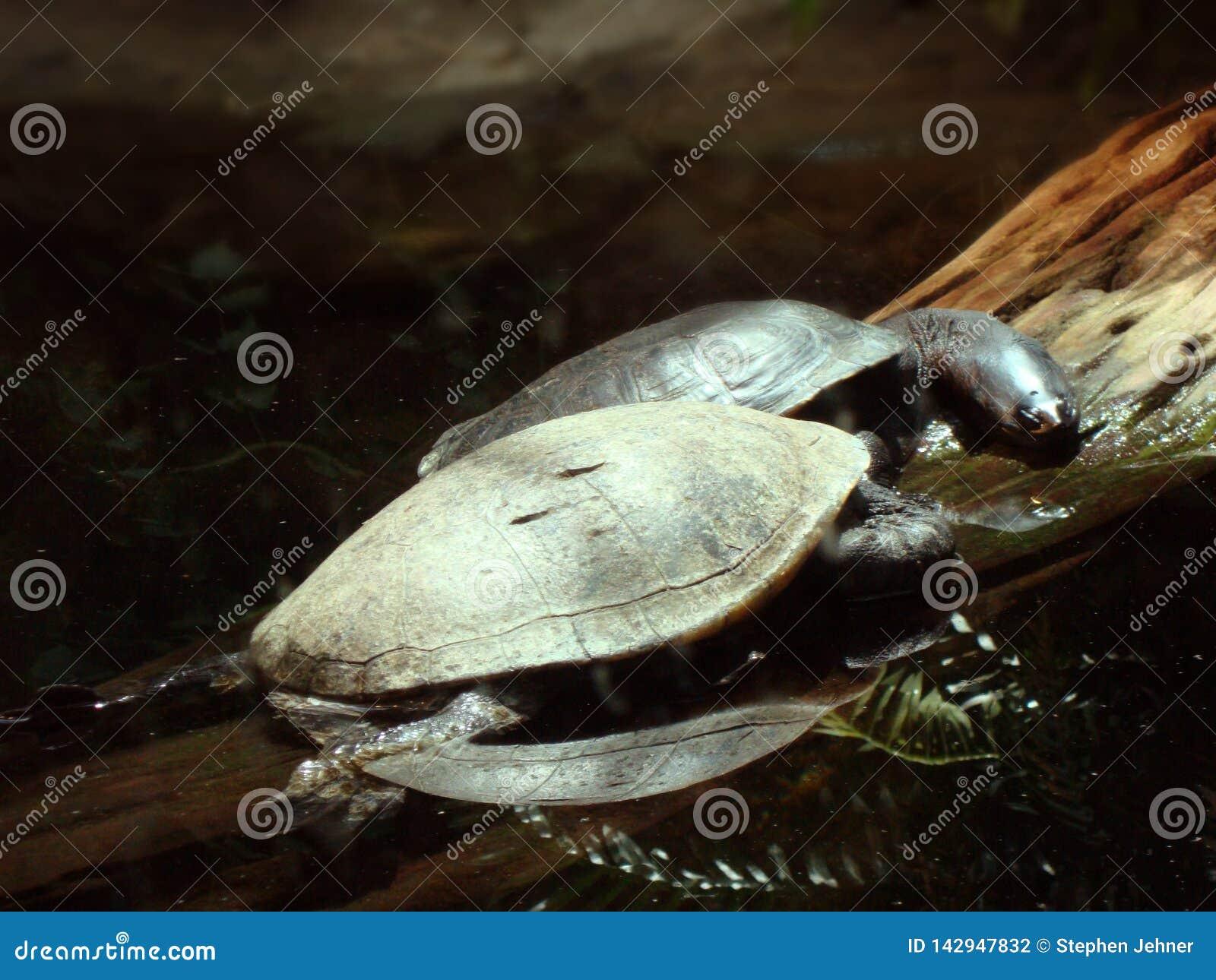 Δύο μακριές necked χελώνες που στηρίζονται σε ένα κούτσουρο