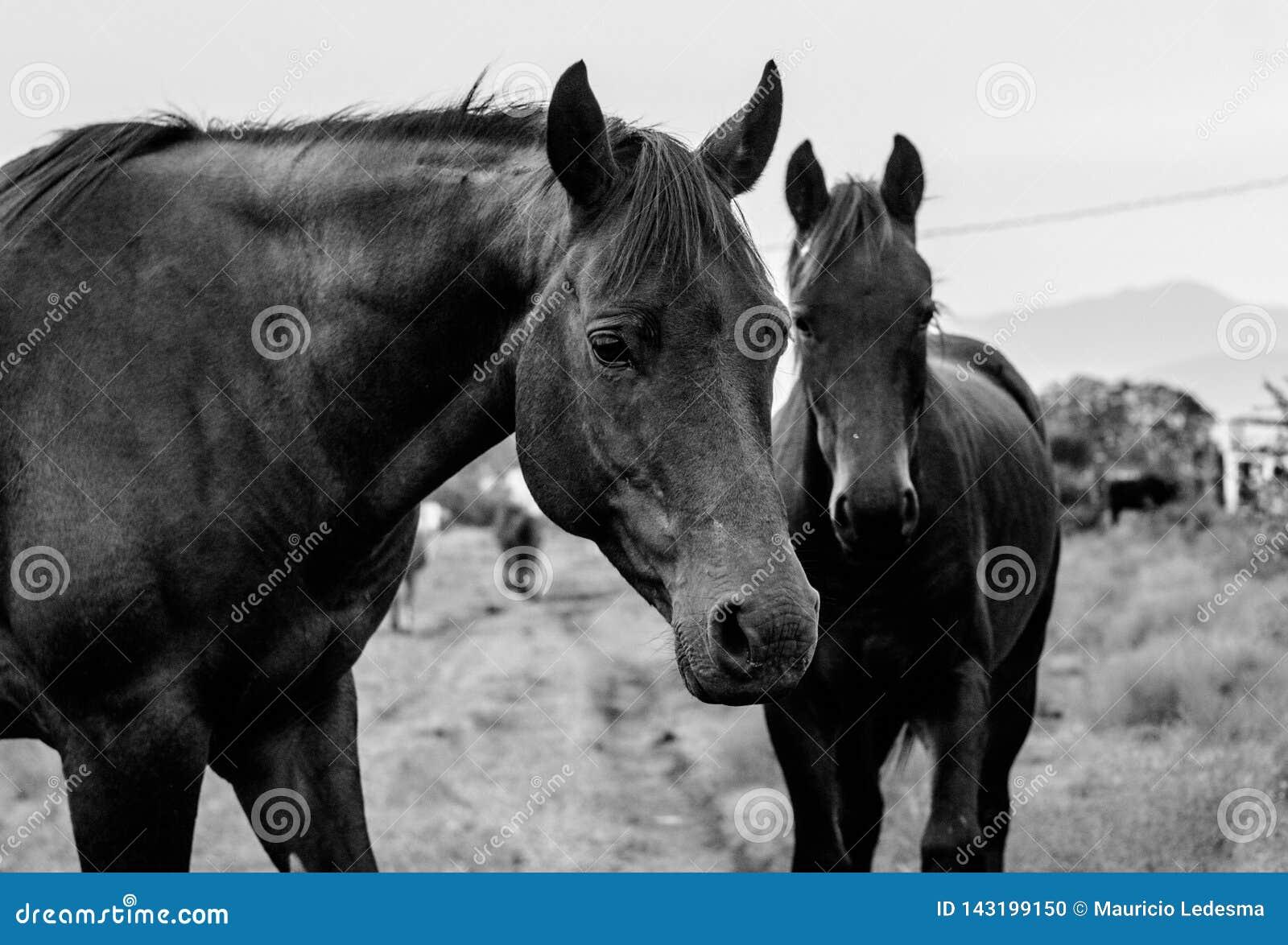 Δύο μαύρα άλογα που έξω στο λόφο