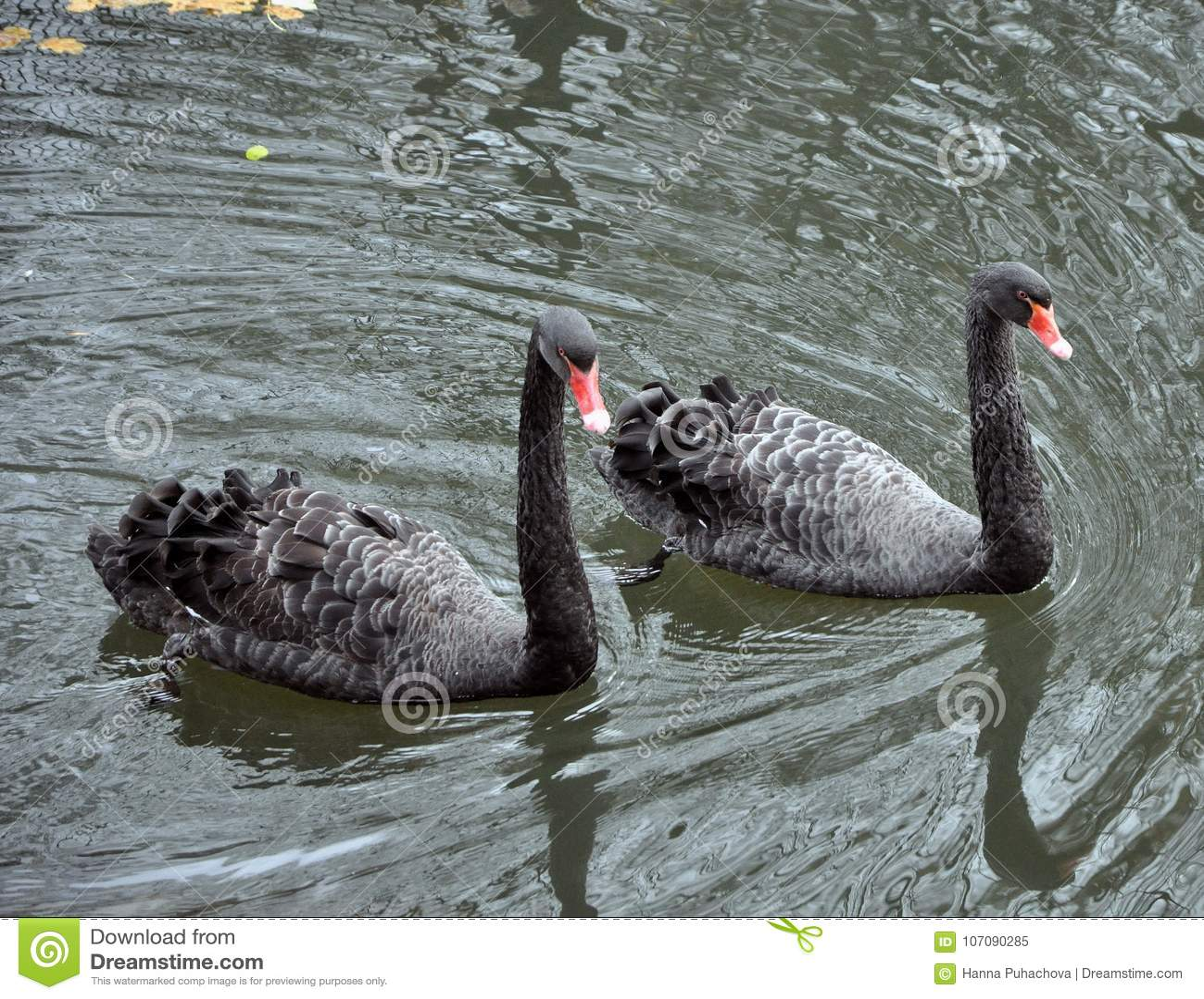Δύο μαύροι κύκνοι που επιπλέουν στη λίμνη