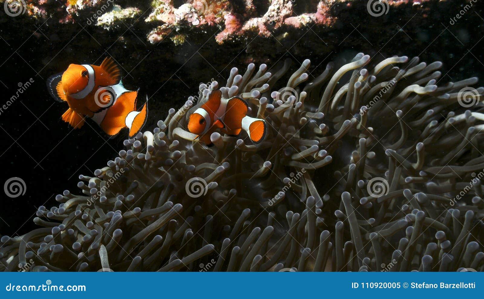 Δύο μικρό ψάρι κλόουν υπερασπίζει το anemone του