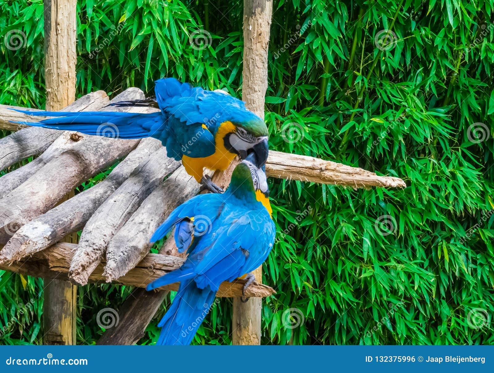 Δύο μπλε και κίτρινα πουλιά παπαγάλων macaw που παίζουν ή που παλεύουν με την τοποθέτηση των ραμφών τους η μια στην άλλη