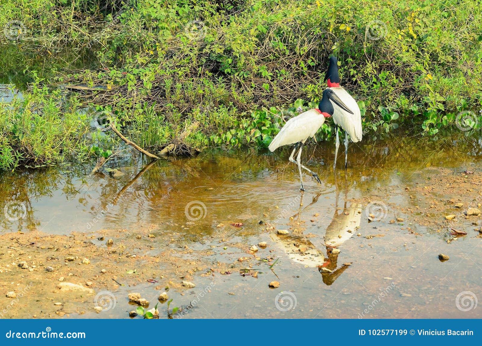 μεγάλο πουλί Βραζιλίας μεγάλο μακρύ σκληρό καβλί