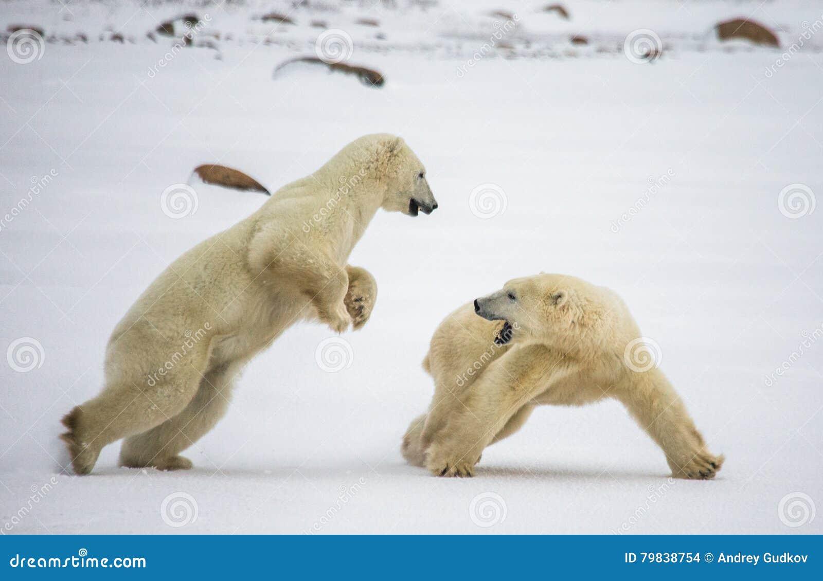 Δύο πολικές αρκούδες που παίζουν η μια με την άλλη tundra Καναδάς