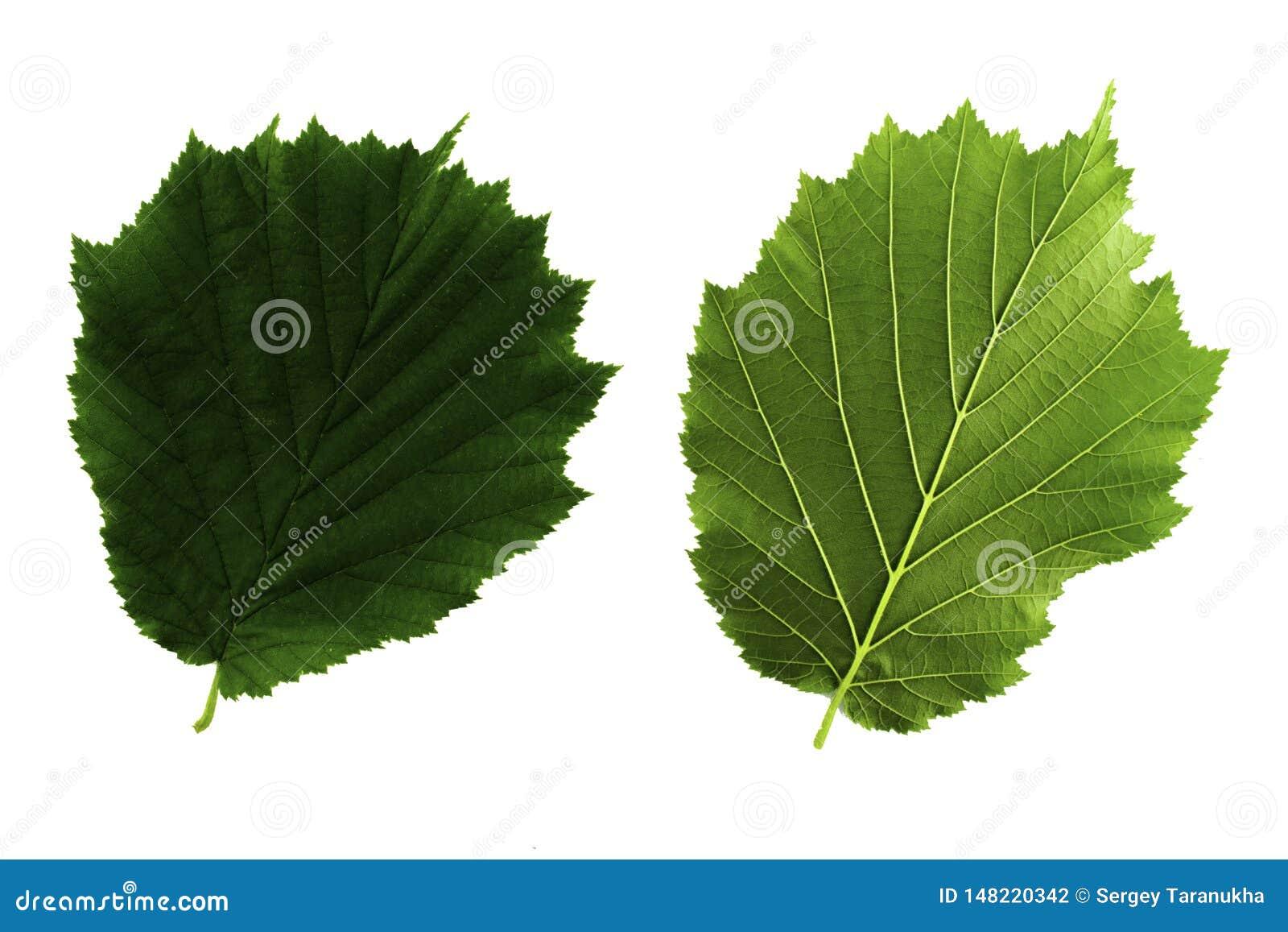 Δύο πράσινα φύλλα της φουντουκιάς που απομονώνεται από την άσπρη πλευρά υποβάθρου, κορυφών και κατώτατων σημείων του φύλλου