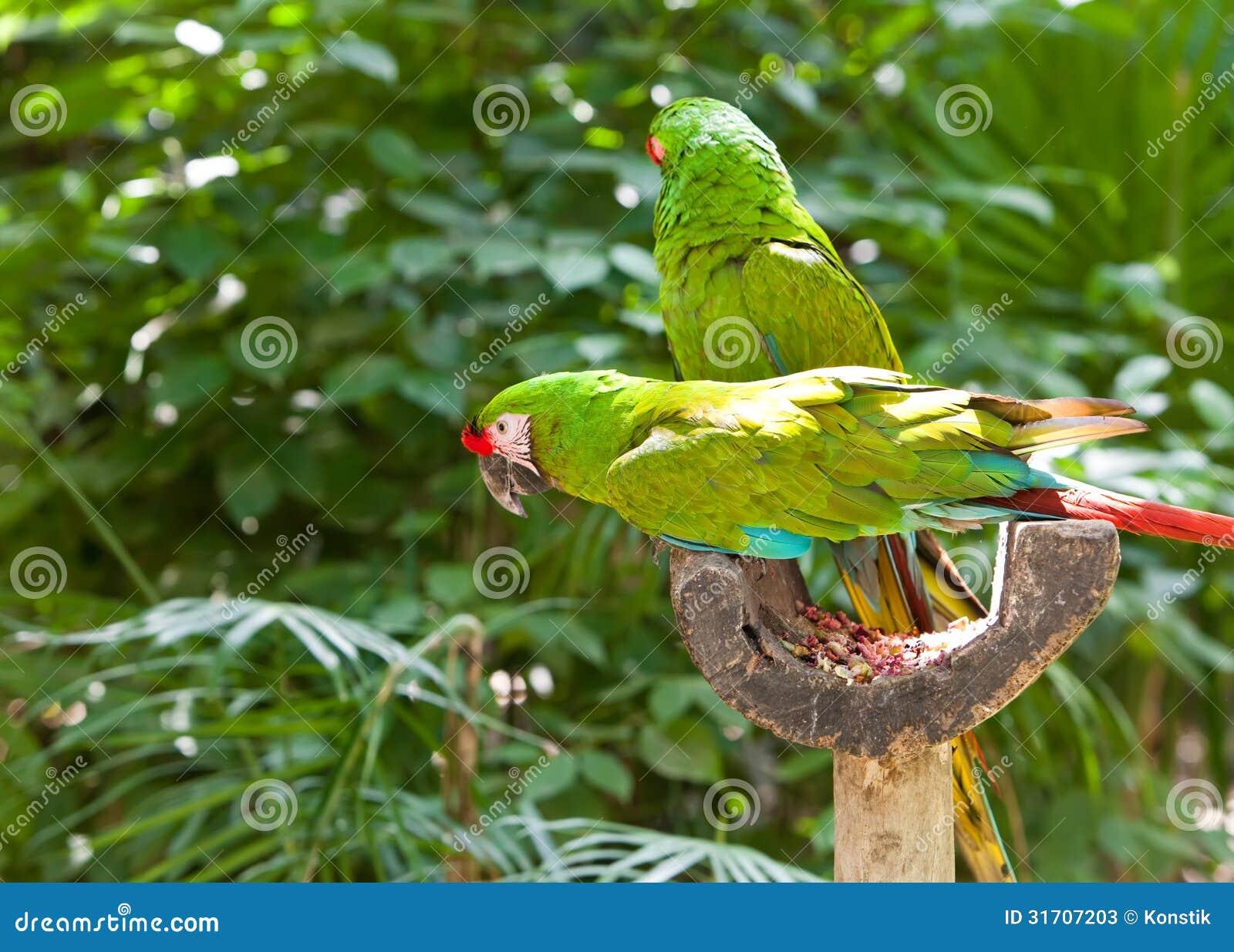 Δύο πράσινοι παπαγάλοι σε ένα τροπικό δάσος