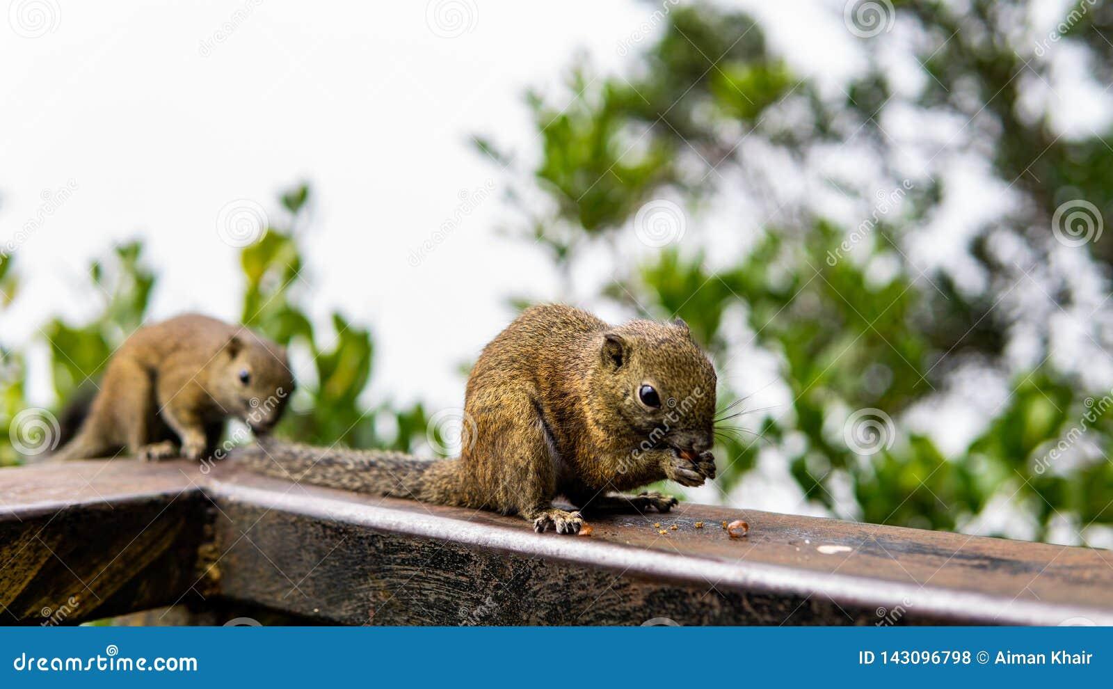 Δύο σκίουροι που τρώνε τα καρύδια στα ξύλα