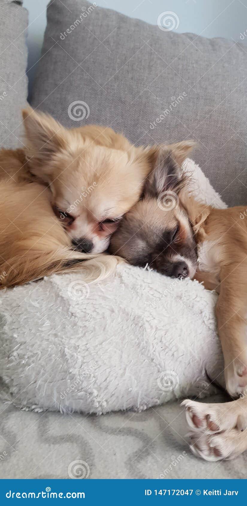 Δύο σκυλιά που κοιμούνται από κοινού