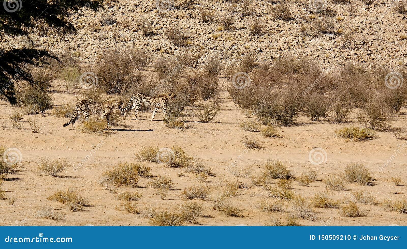 Δύο τσιτάχ που κινούνται στο ξηρό τοπίο στην έρημο της Καλαχάρης στο διασυνοριακό πάρκο β Kgalagadi