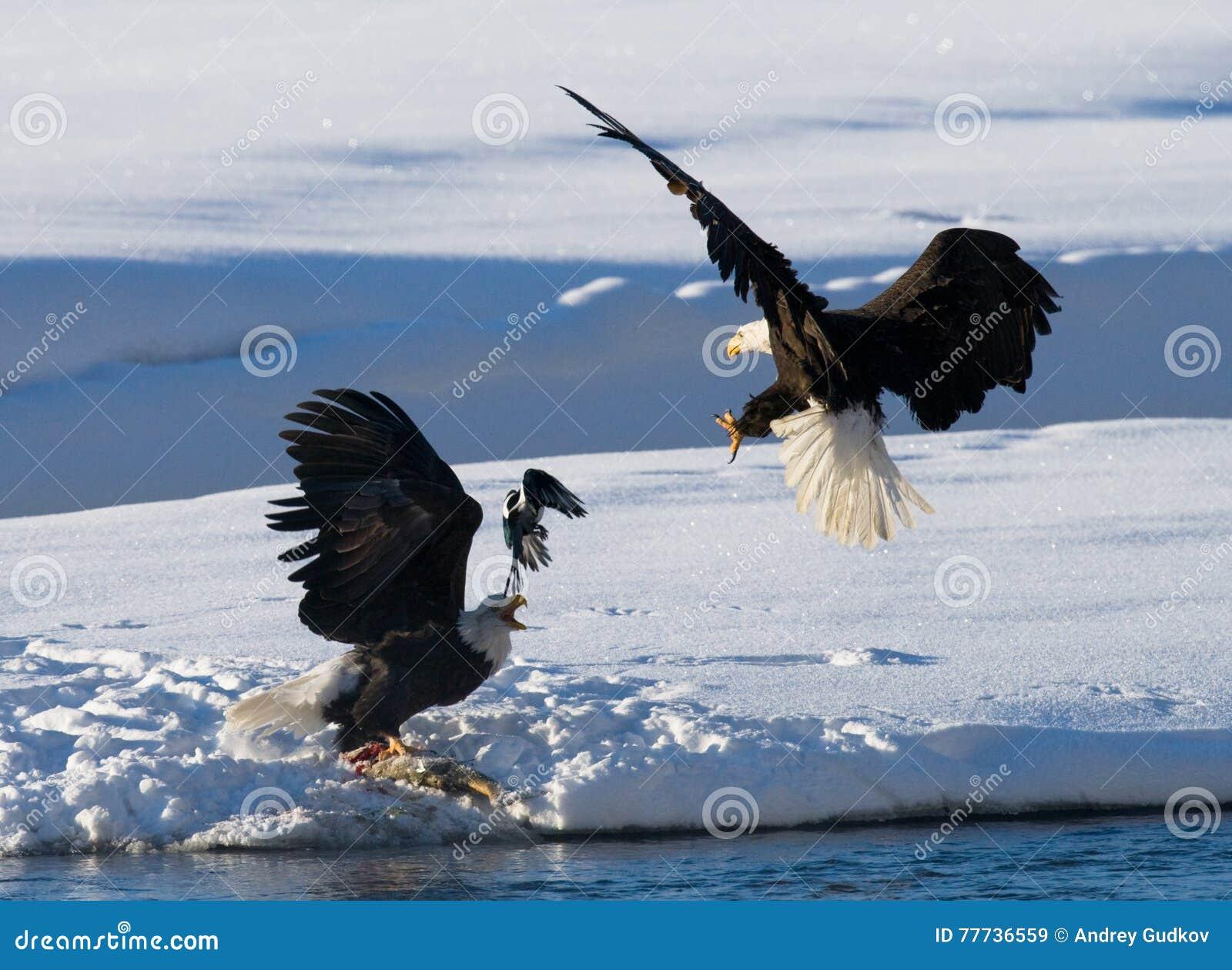 Δύο φαλακροί αετοί παλεύουν για το θήραμα ΗΠΑ albedo Ποταμός Chilkat