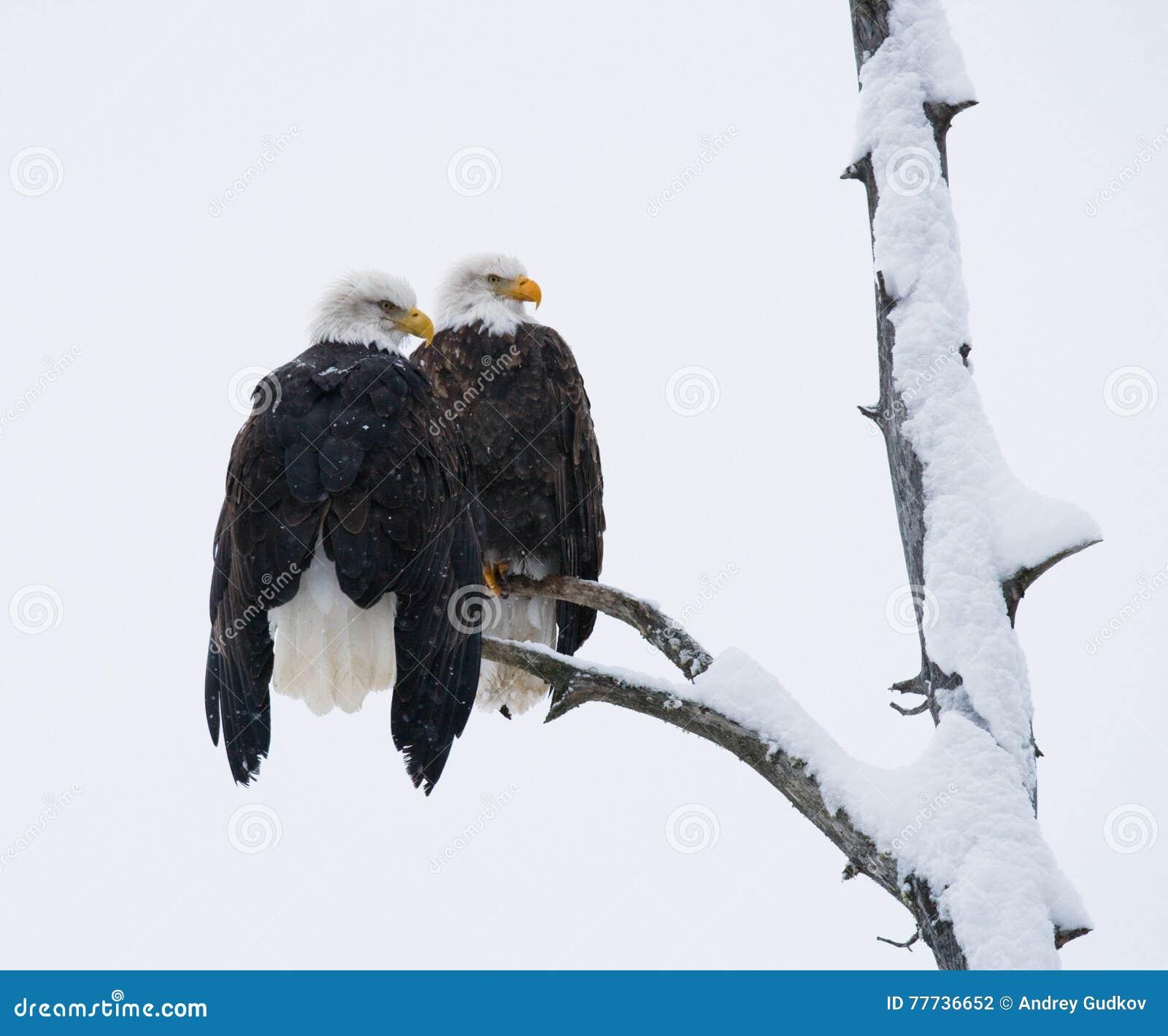 Δύο φαλακροί αετοί που κάθονται σε έναν κλάδο δέντρων ΗΠΑ albedo Ποταμός Chilkat