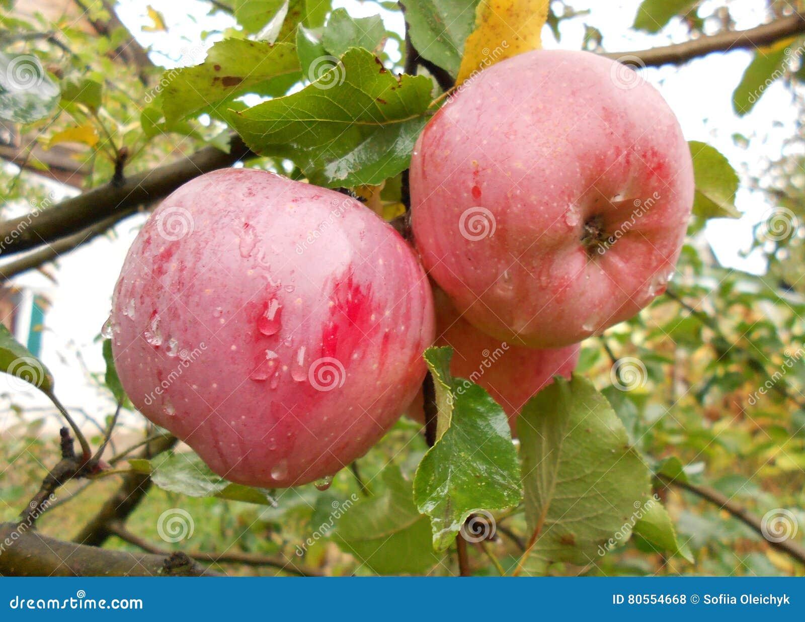 Δύο φρέσκα μήλα στον κλάδο δέντρων μηλιάς