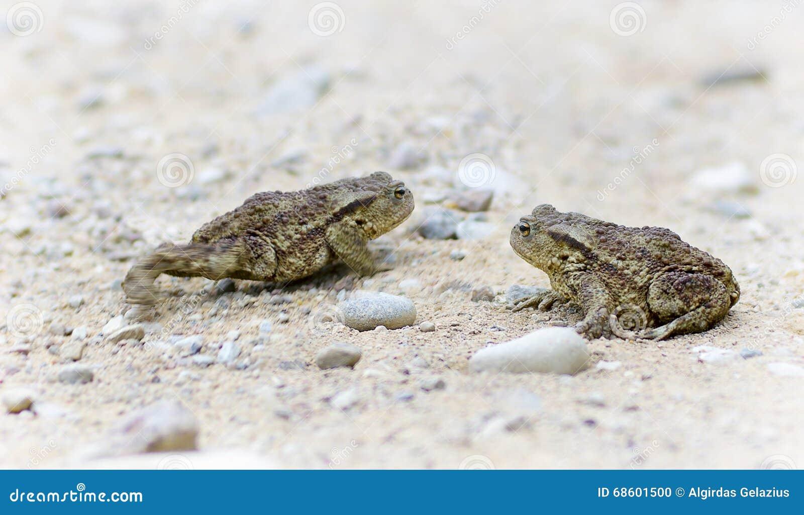 Δύο φρύνοι στο αμμοχάλικο