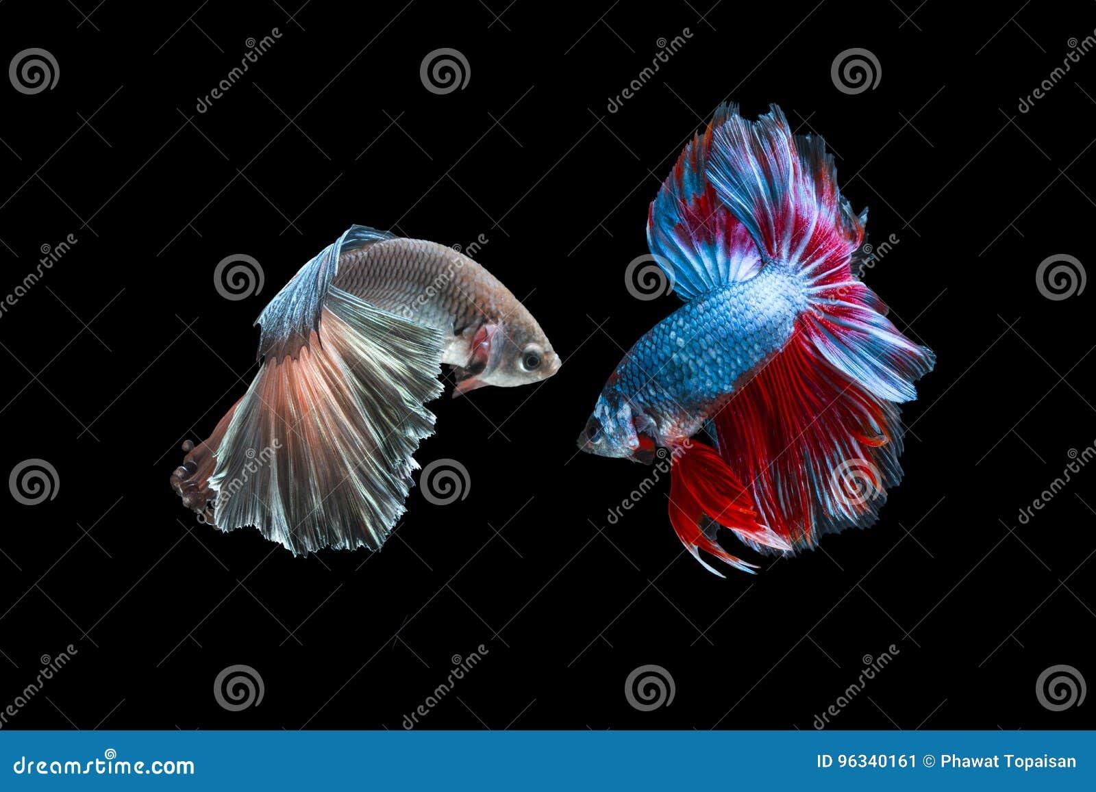 Δύο ψάρια πάλης