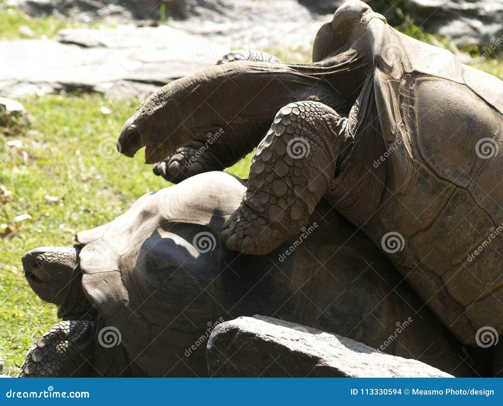 Δύο Aldabra Tortoises που ζευγαρώνουν 1