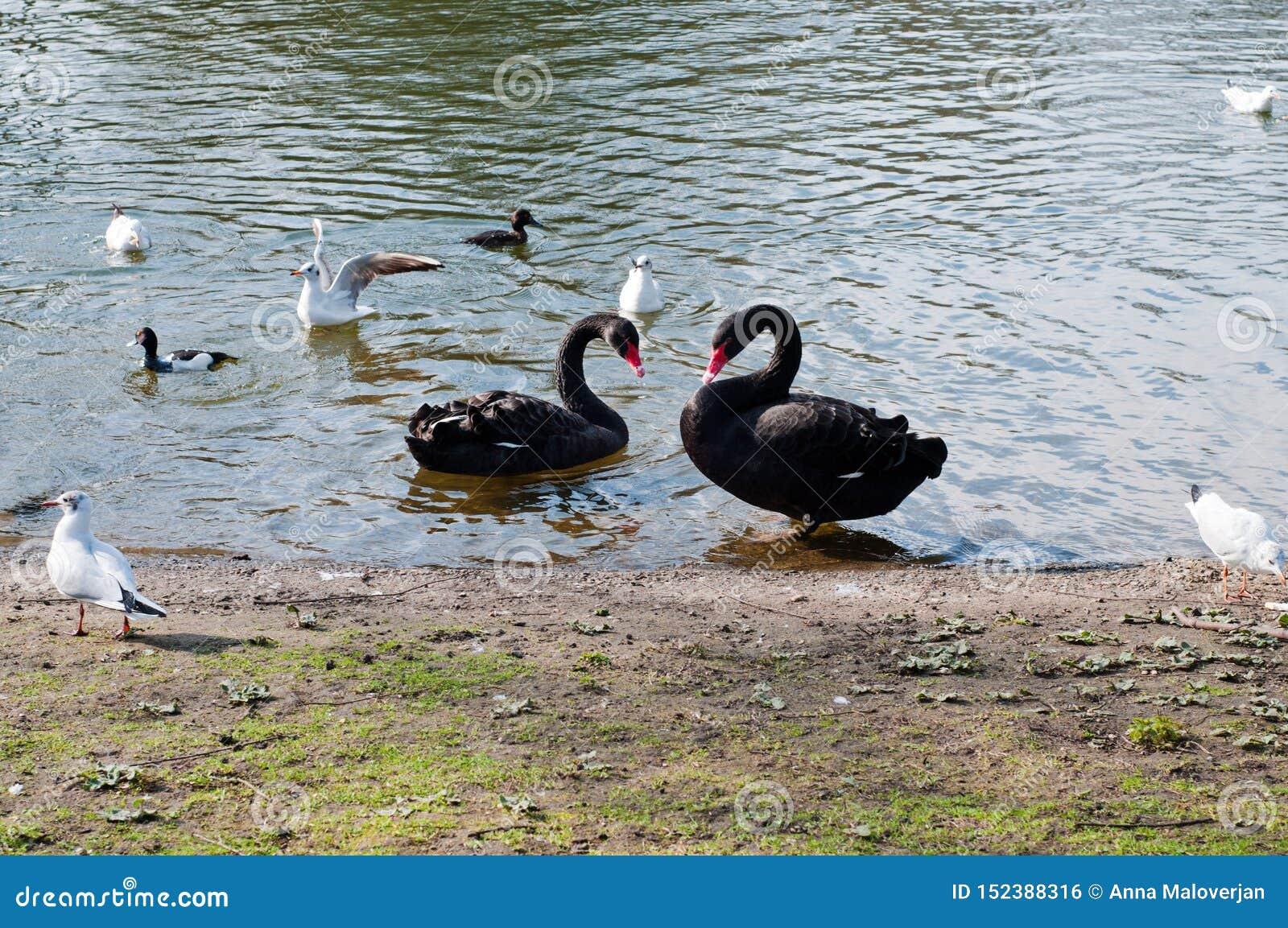 Δύο blackswans στη λίμνη