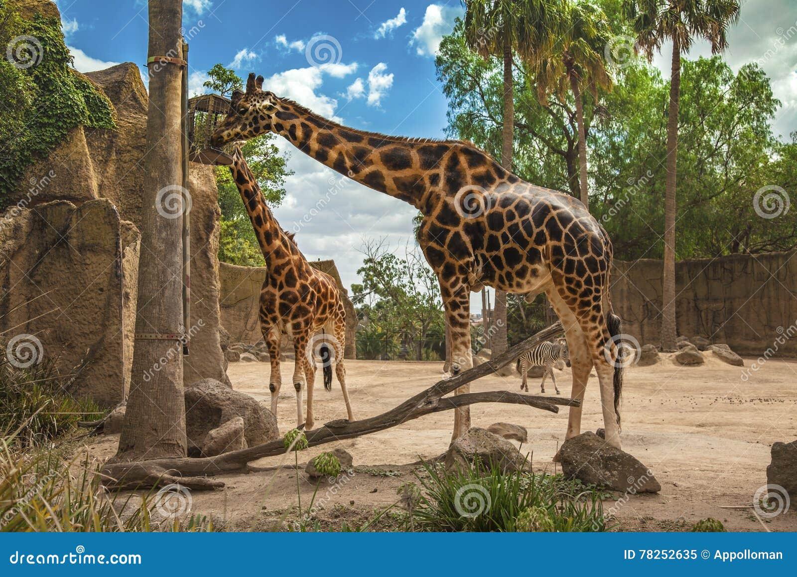 Δύο giraffes τρώνε