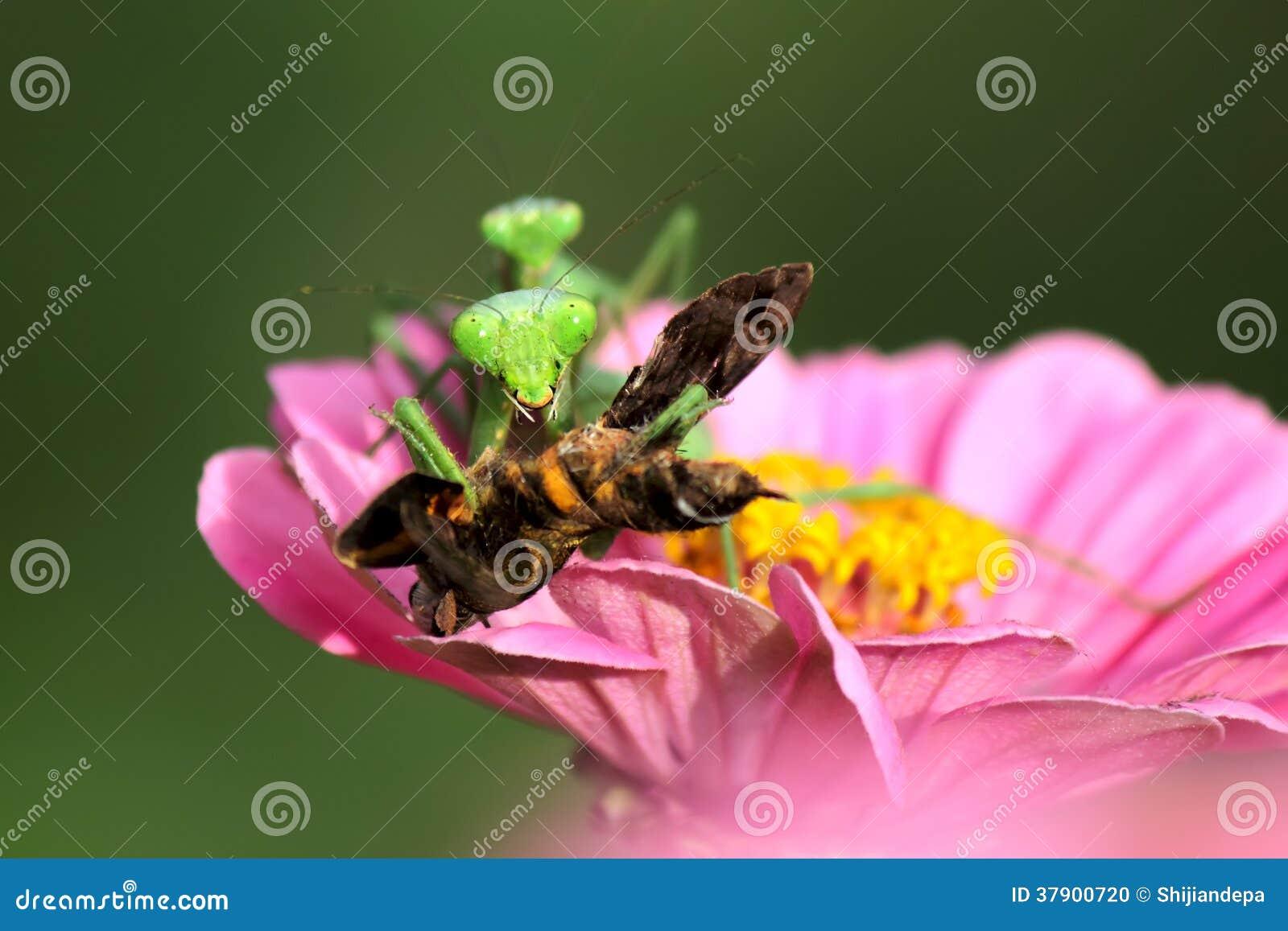 Δύο Mantis