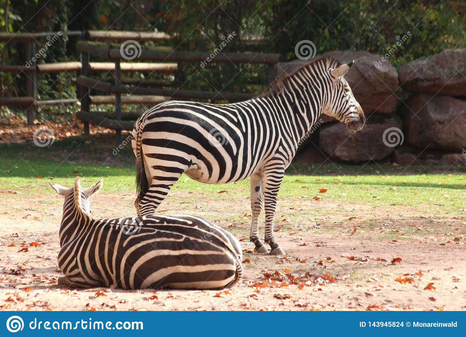 Δύο zebras που στέκονται στο ζωολογικό κήπο στη Νυρεμβέργη