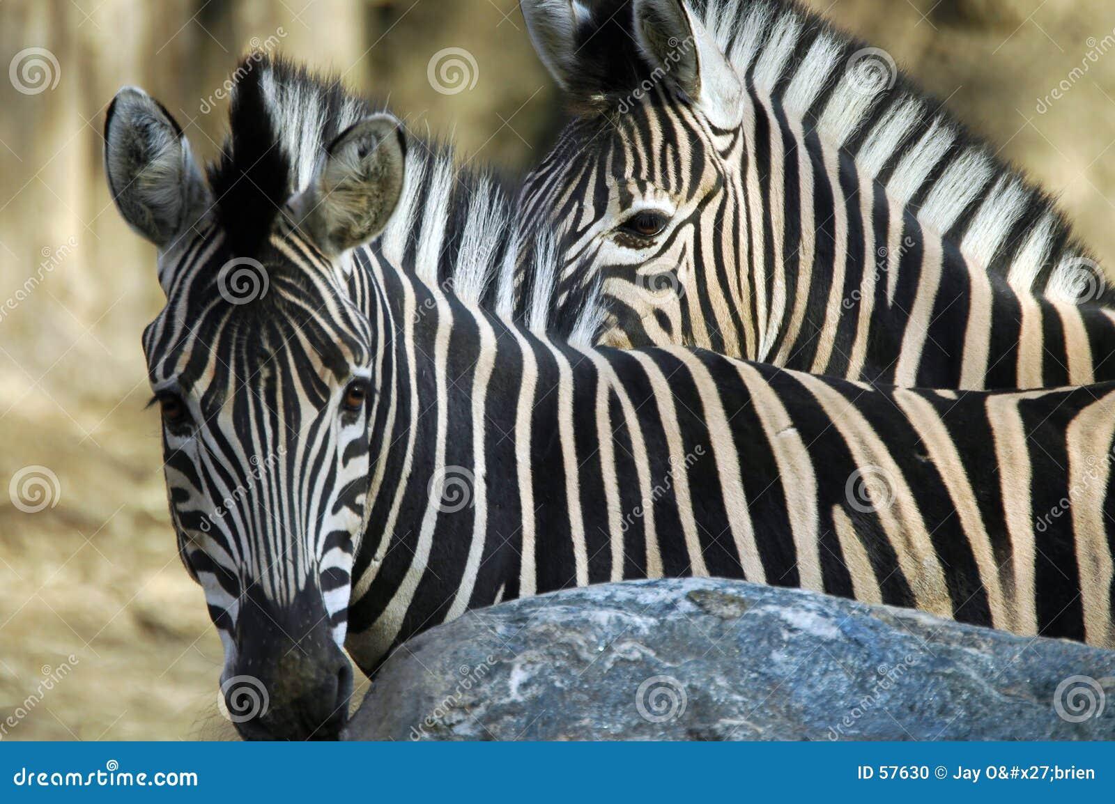 δύο zebras