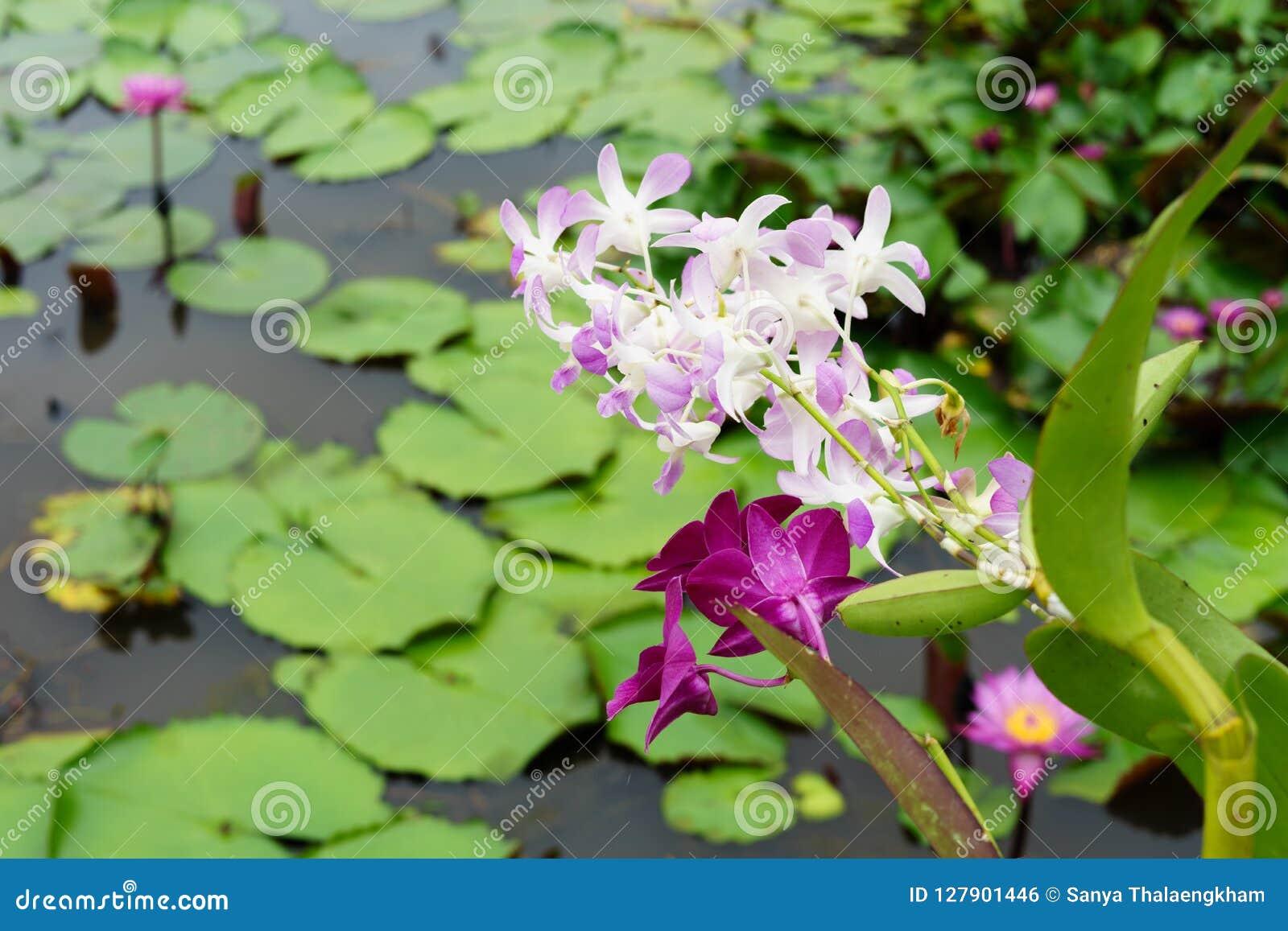 Είναι όμορφη ρόδινη ορχιδέα λουλουδιών στο κόκκινο Lotus που επιπλέει Maket Β
